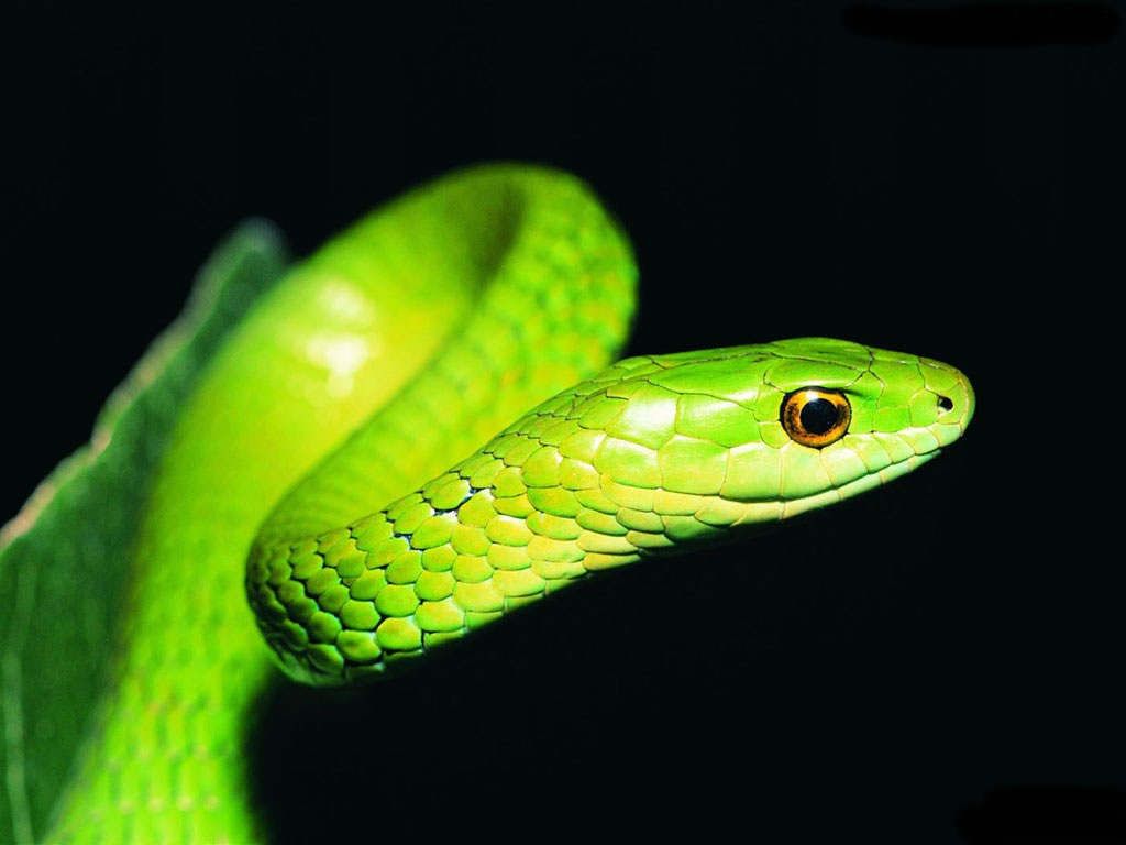 snake hd wallpapers beautiful desktop background photographs widescreen