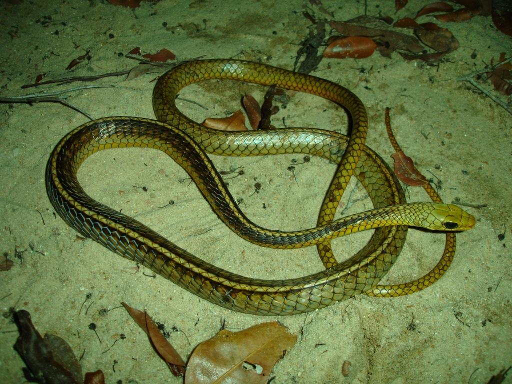 Chironius snakes free wallpaper in free pet category: Snake