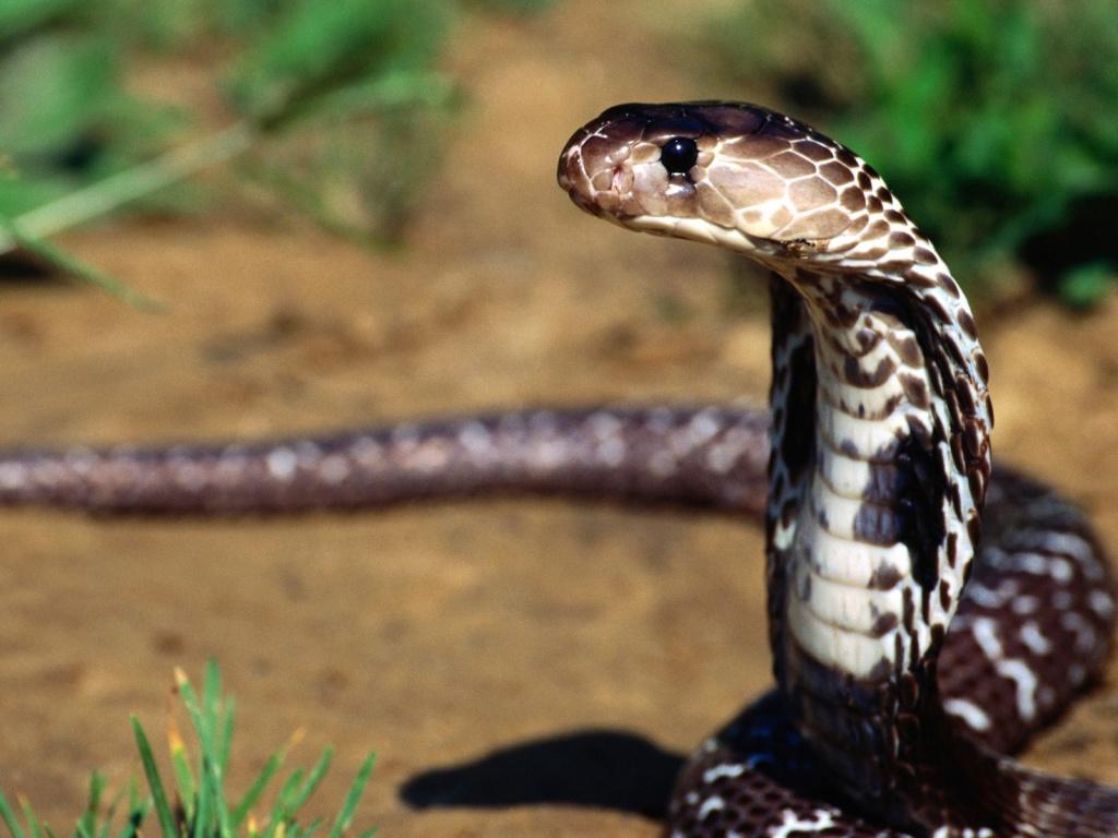 Snake Standing Free HD WALLPAPER