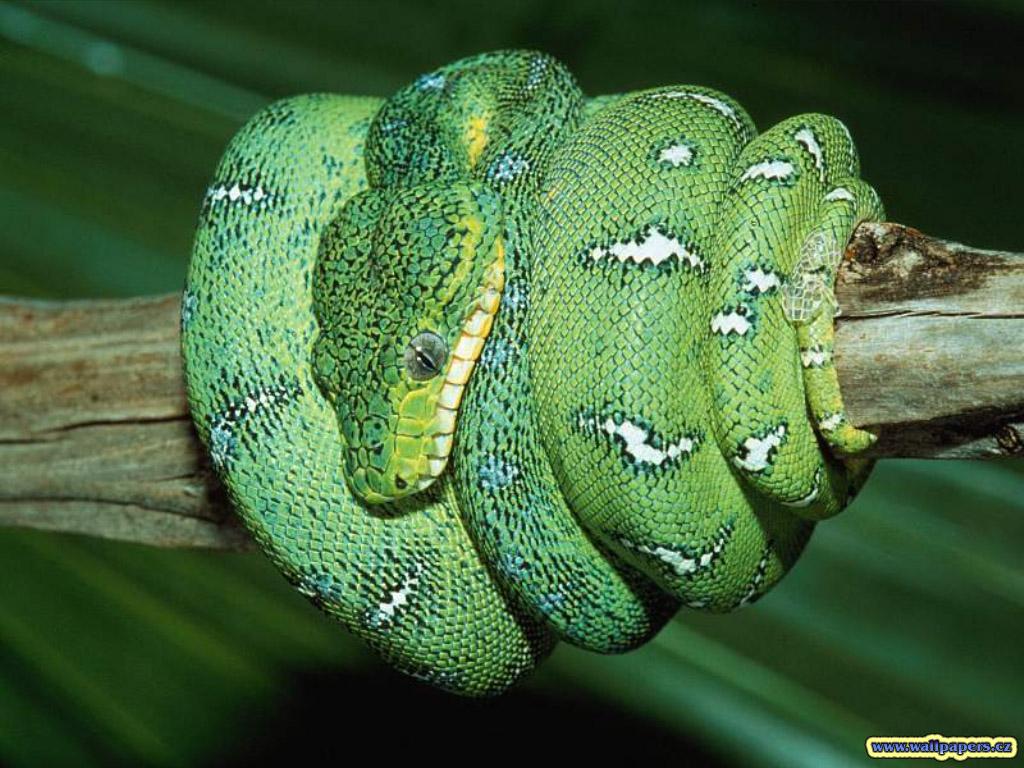 HD Wallpapers Free Green Snake wallpaper