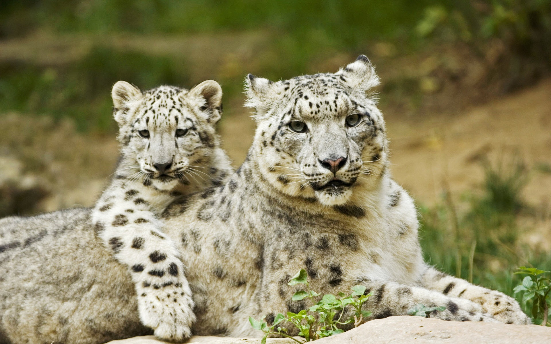 Free Snow Leopard Wallpaper