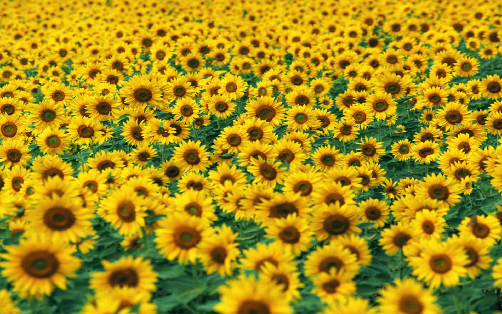 Free Sunflower Field Pictures