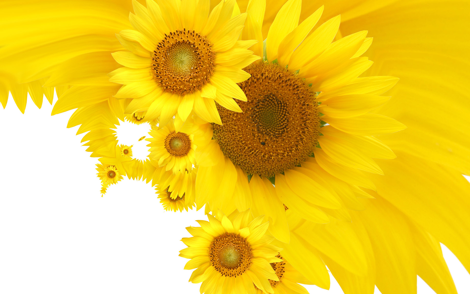 Free Sunflower Pictures