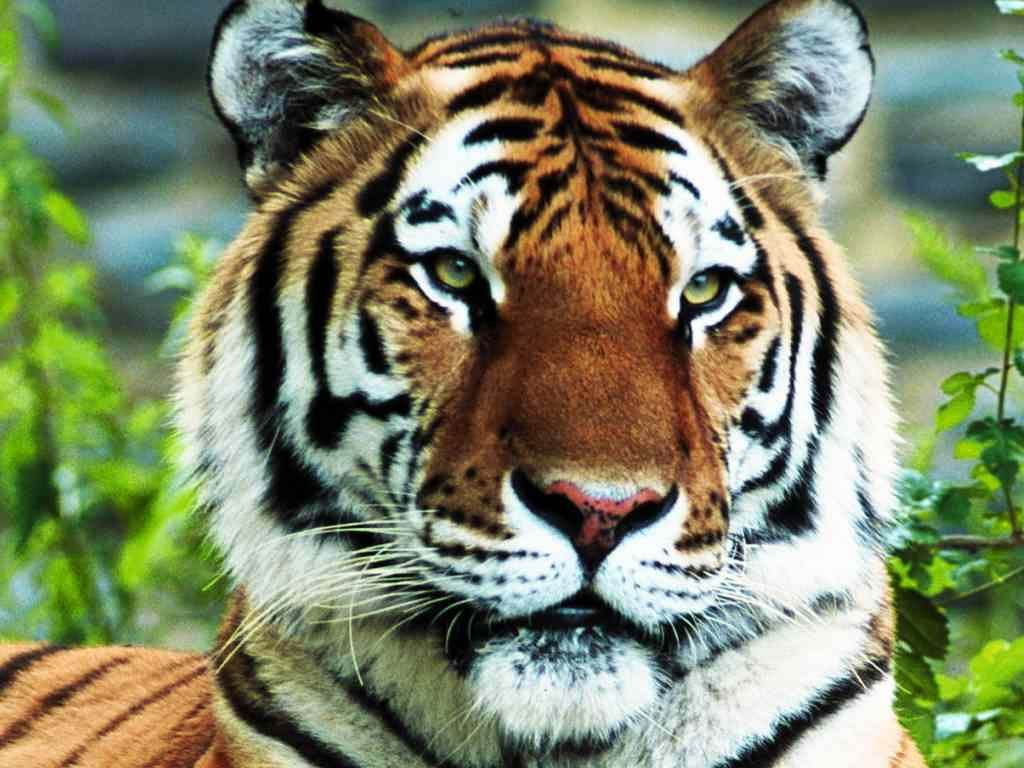 free Tiger wallpaper wallpapers download