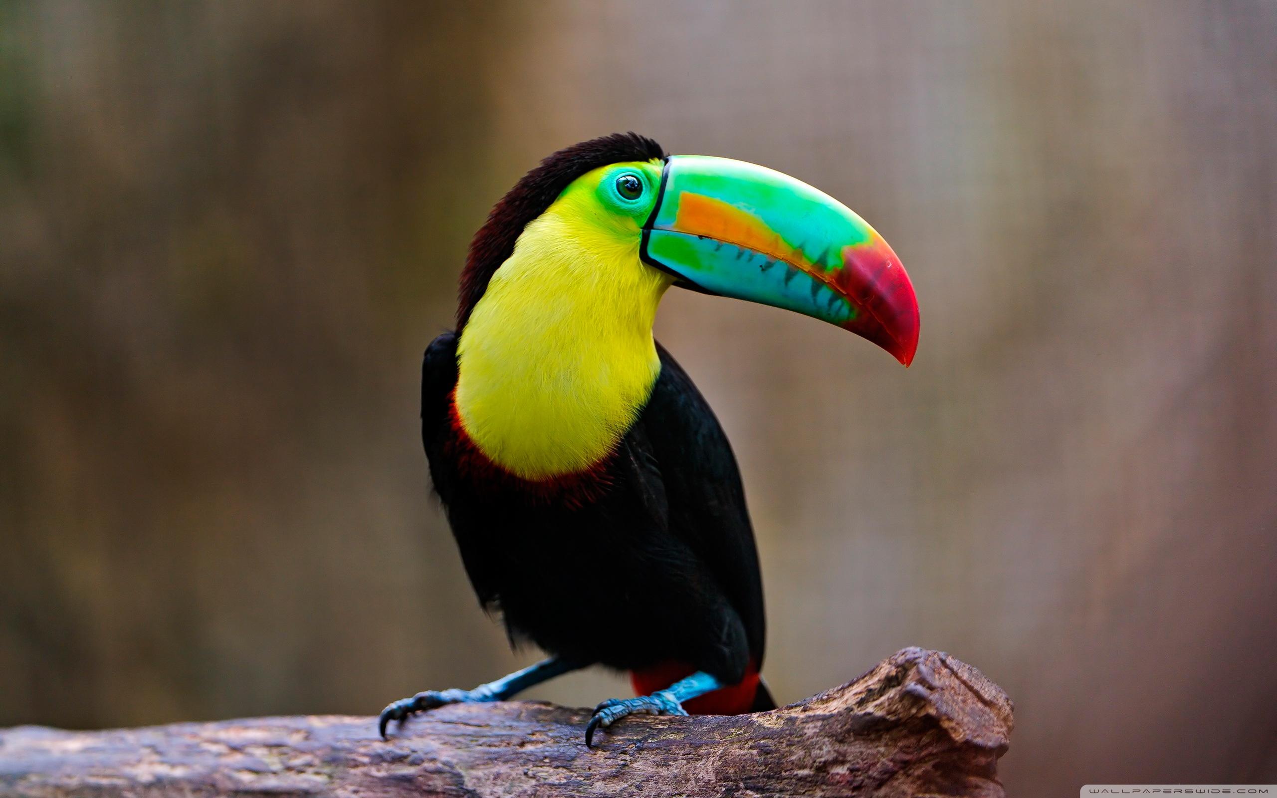 Free Toucan Bird Wallpaper