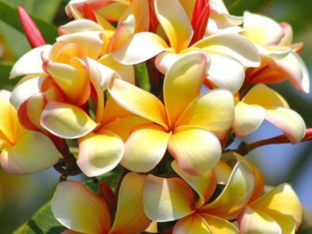 Free Tropical Flowers Wallpaper