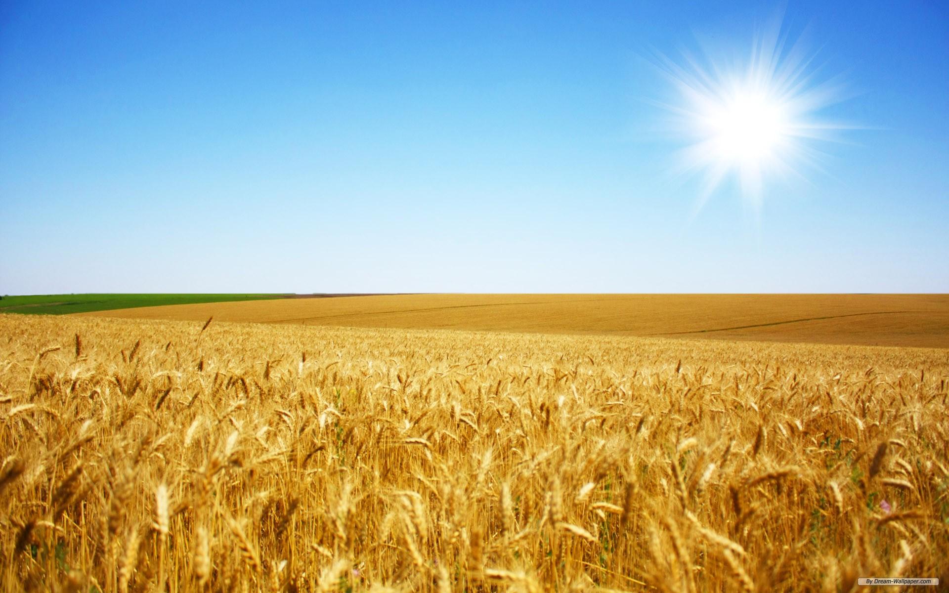 Free Nature wallpaper - Wheat Field 1 wallpaper - 1920x1200 wallpaper - Index 1