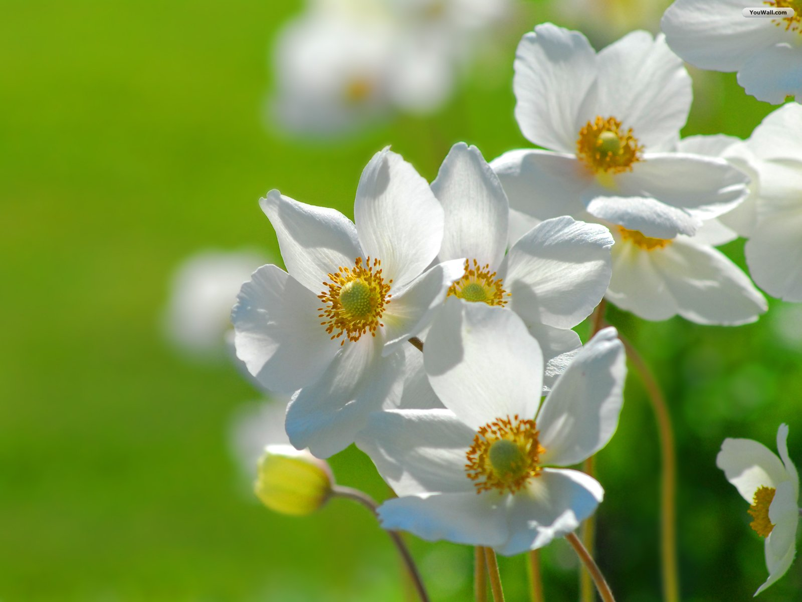 Free White Flowers Wallpaper