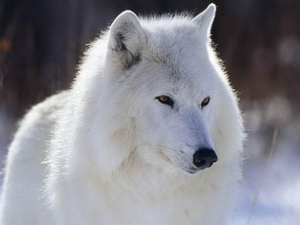 White wolf free wallpaper in free desktop backgrounds category: Wolf-backgrounds.