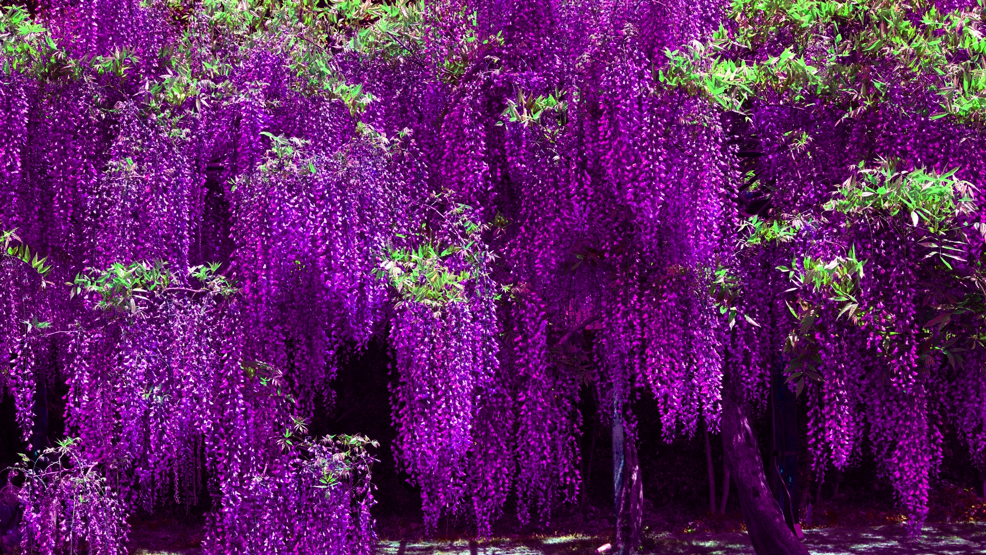 Free Wisteria Wallpaper