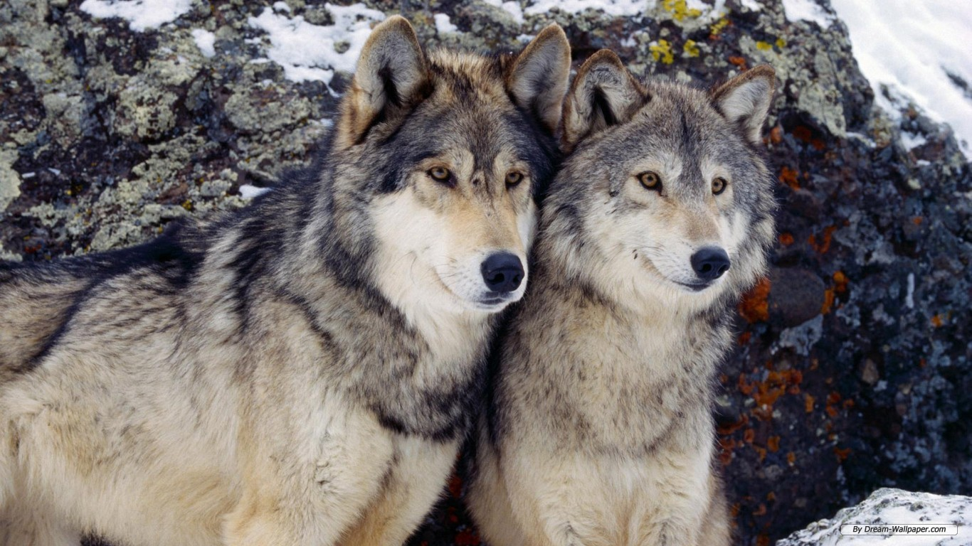 Wolf Photos Free Hd Background Wallpaper 21 HD Wallpapers