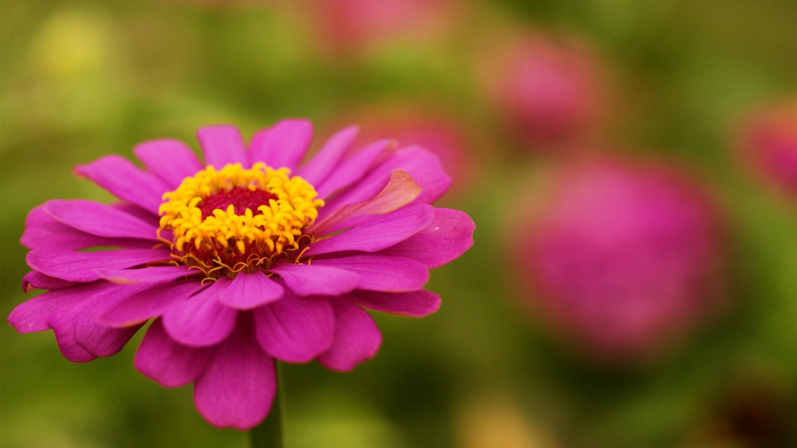 "Download the following Free Zinnia Wallpaper 20153 by clicking the orange button positioned underneath the ""Download Wallpaper"" section."