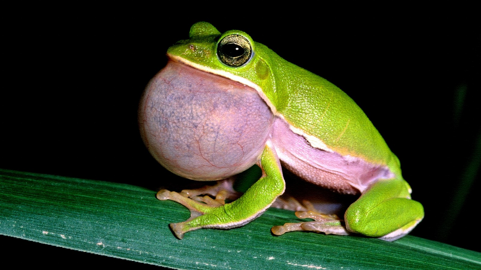 Frog Sing Pictures Site