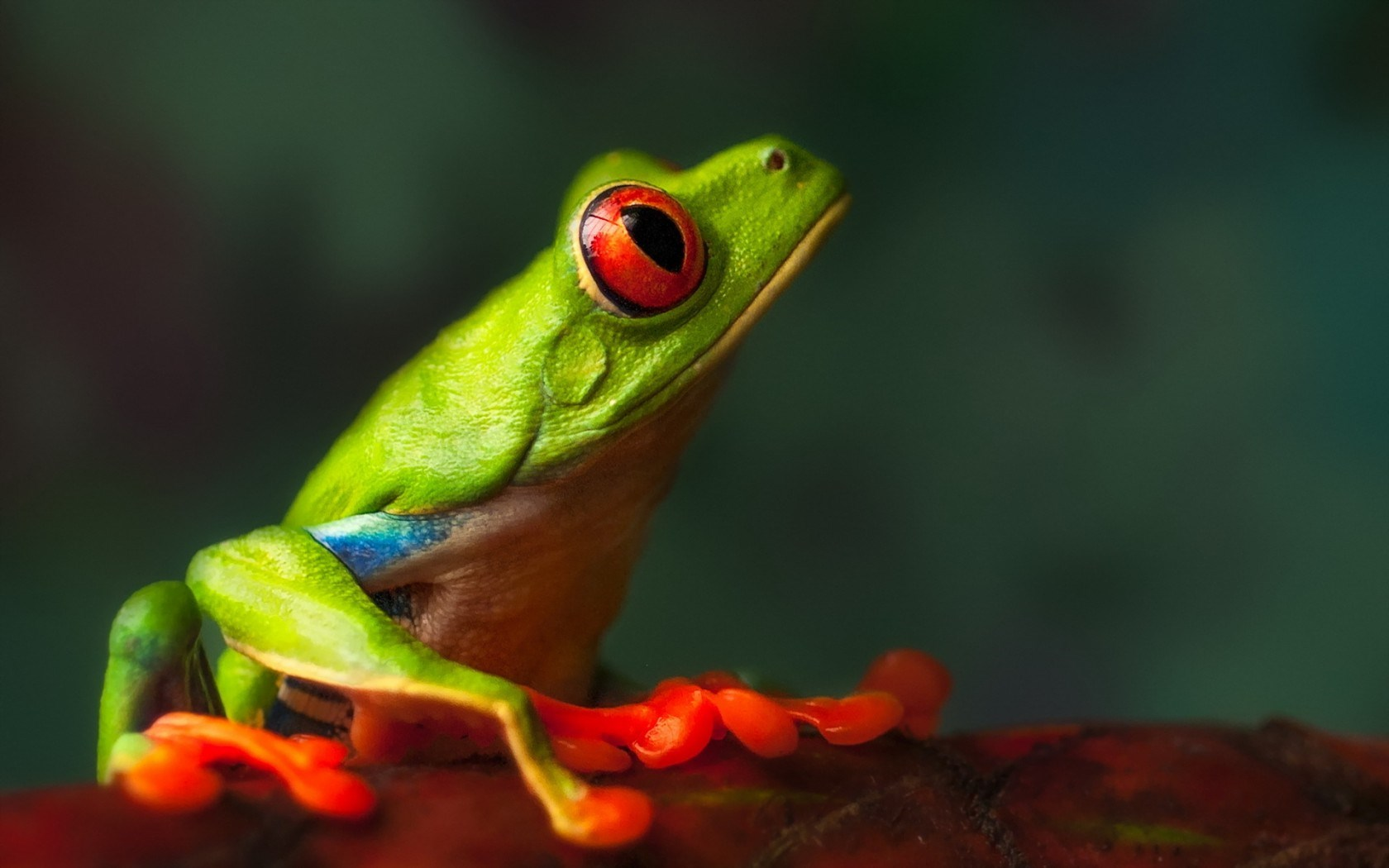 Frog Close-Up Macro