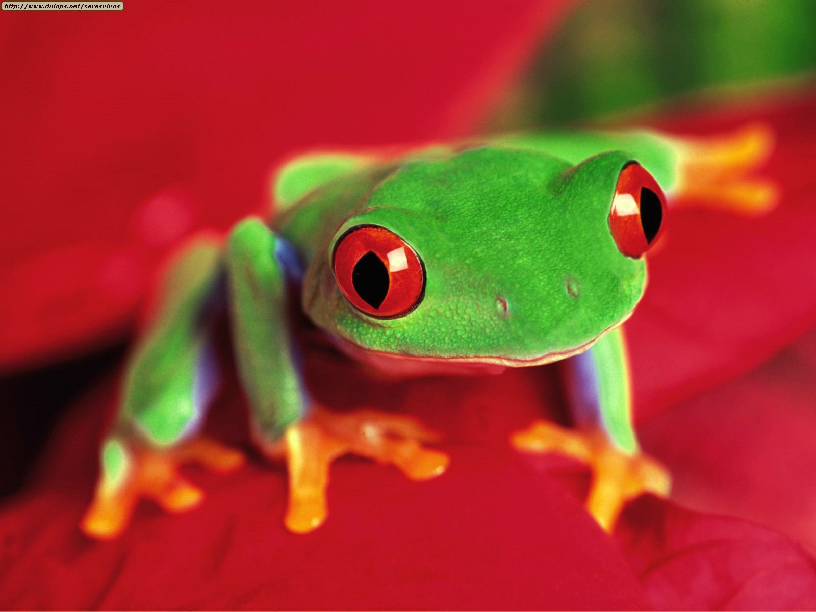 The Red Eye Tree Frog