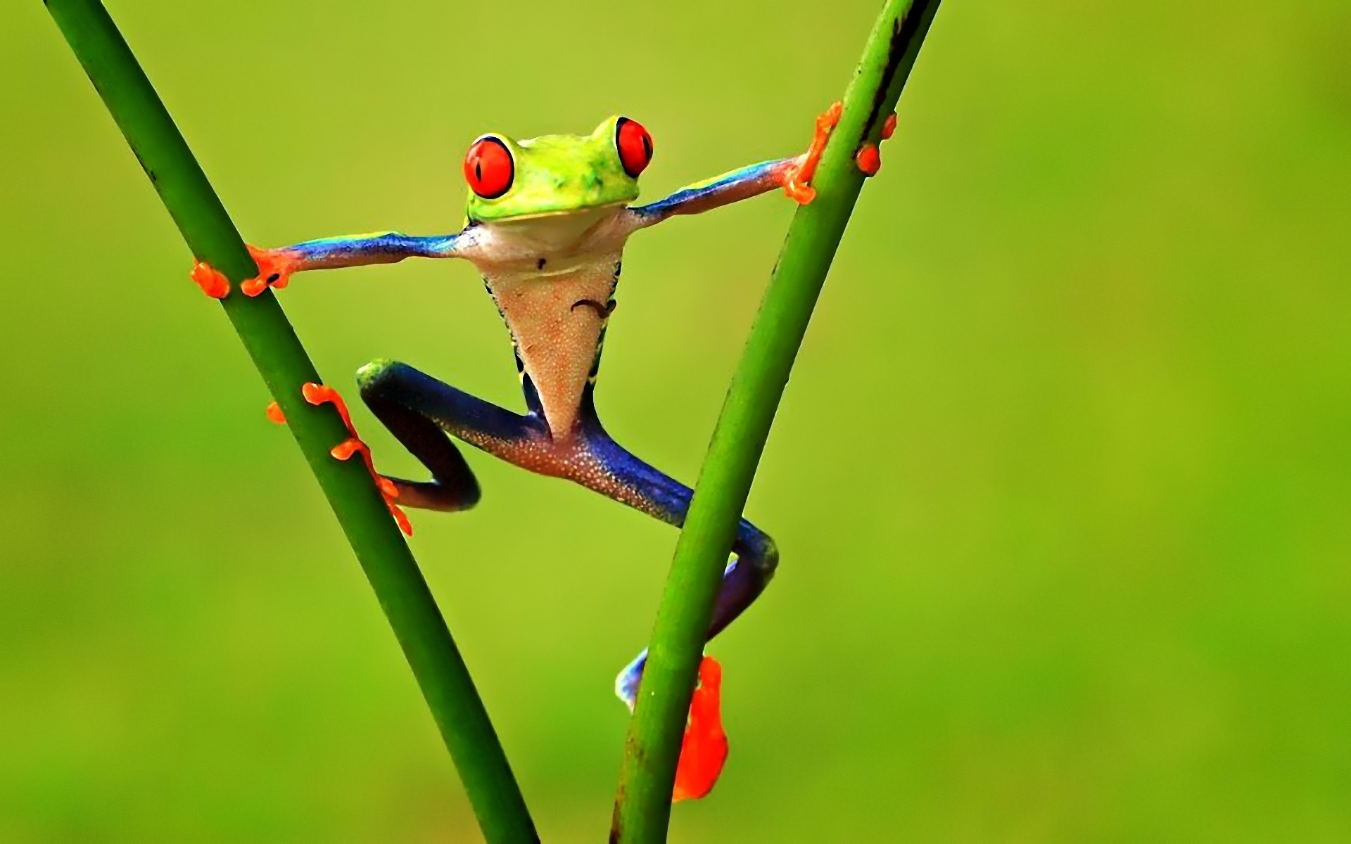 ... Frog Wallpaper ...