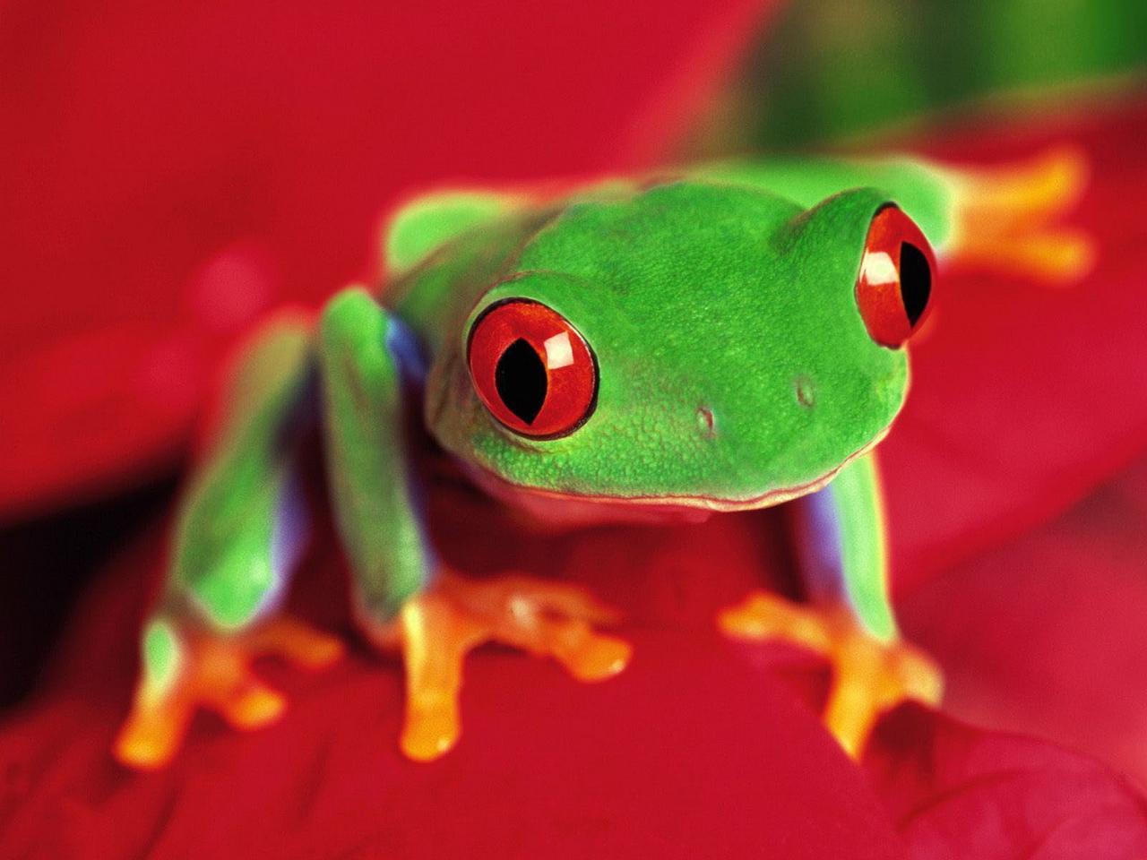 HD Wallpaper   Background ID:81320. 1280x960 Animal Frog