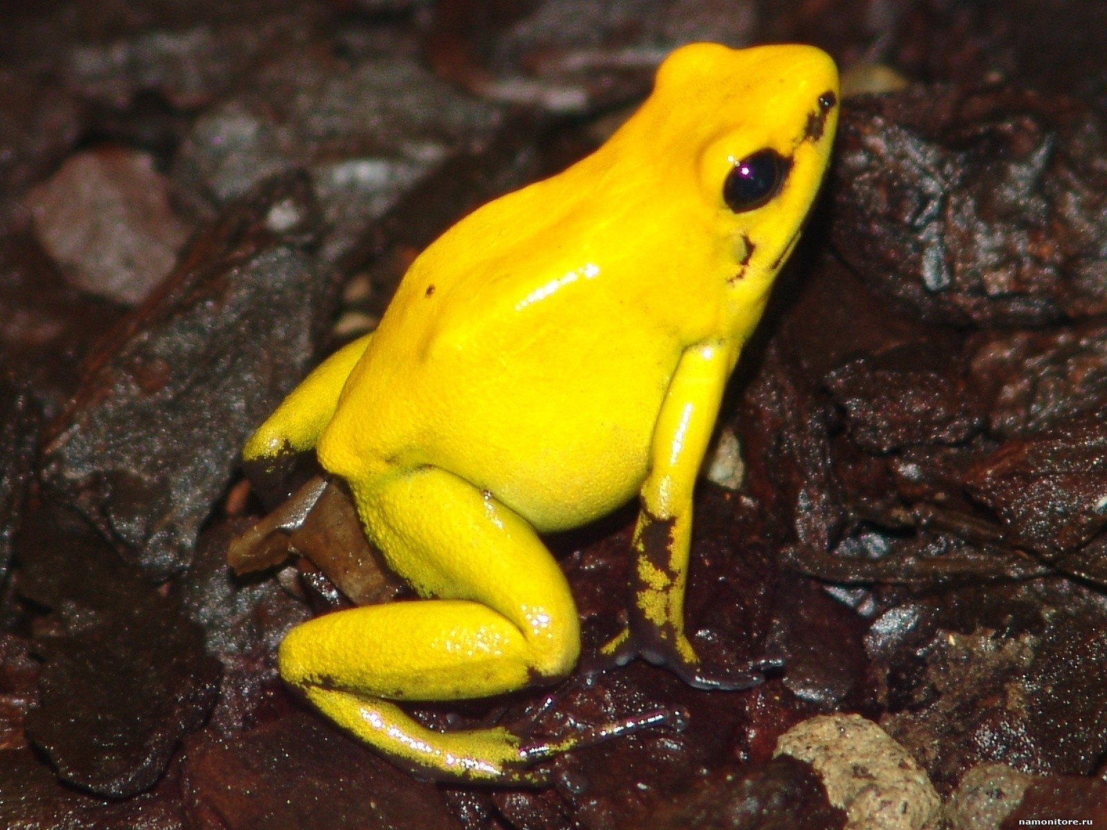 Yellow Frog Amphibious Frogs Golden
