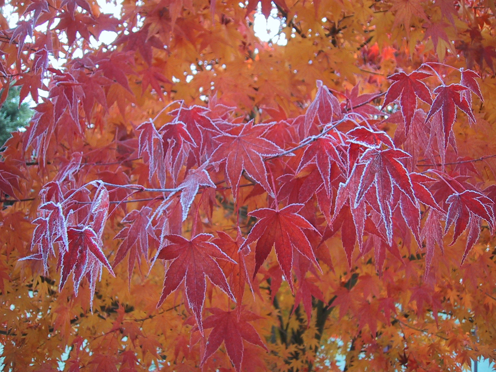 Title: Frosted Leaves Date: November 11, 2000. Location: Bothell, WA Camera: Cannon PowerShot 100. Resolution: 1600 x 1200