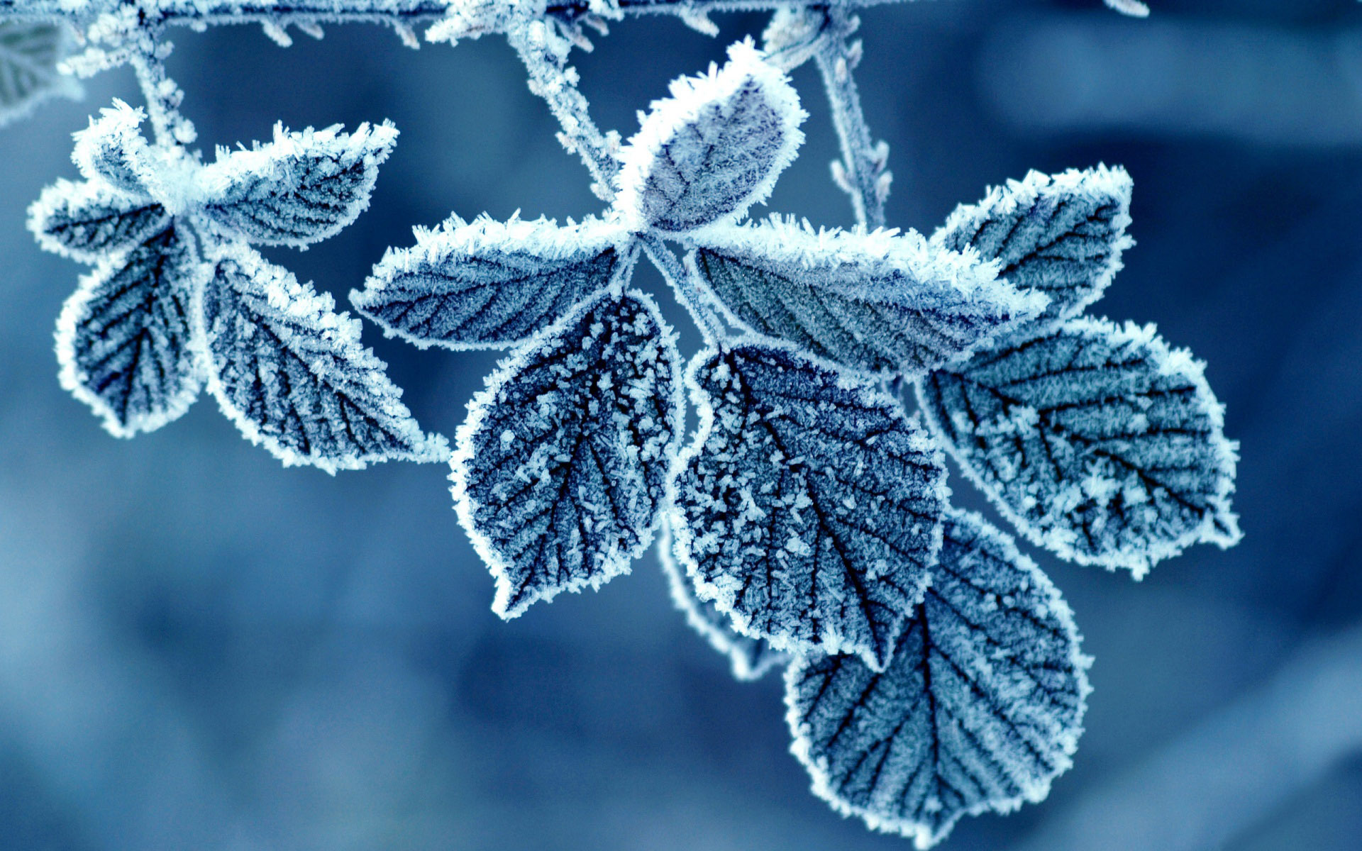 Frosty leaves wallpaper