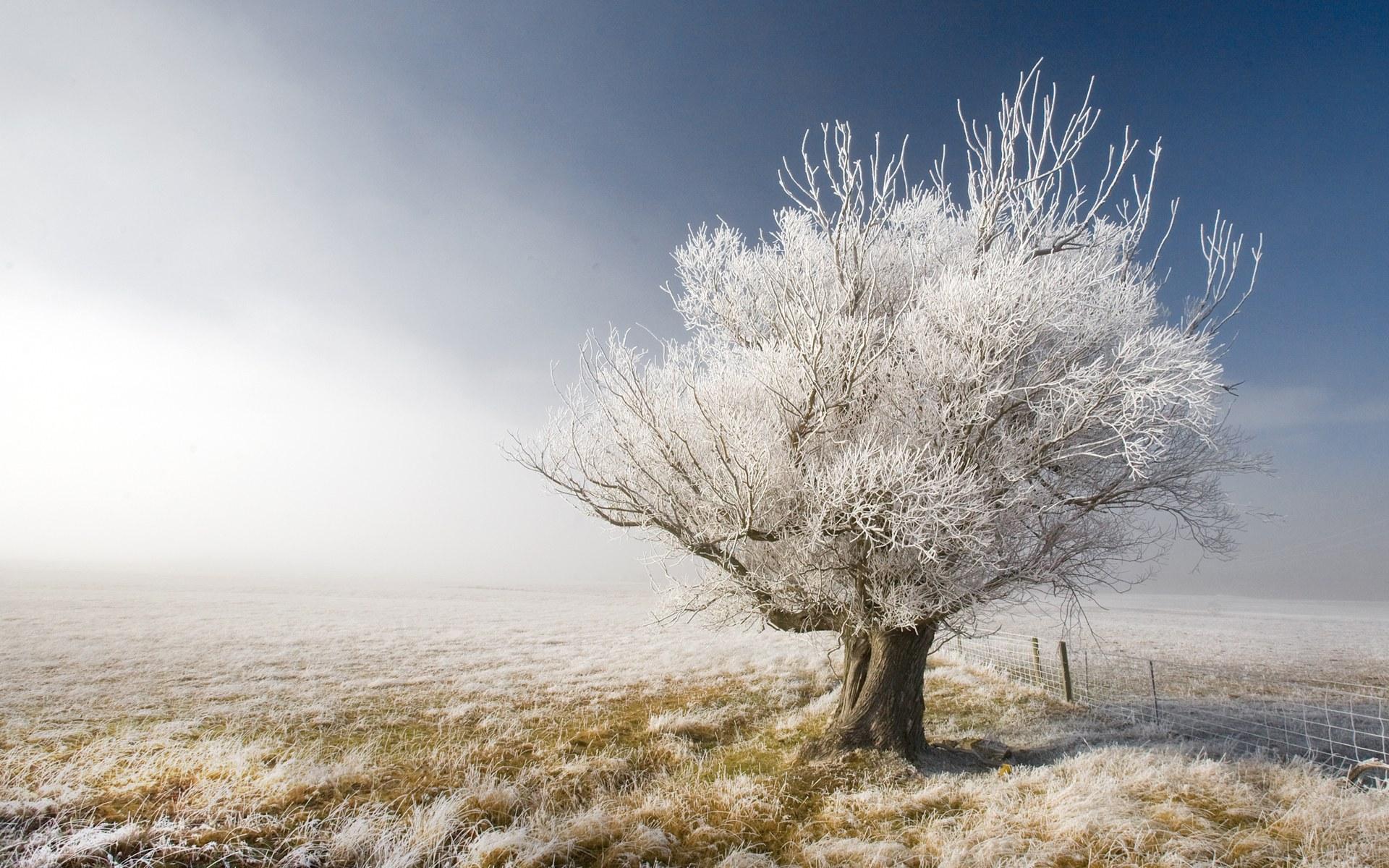 Download: A Frosty Tree HD Wallpaper