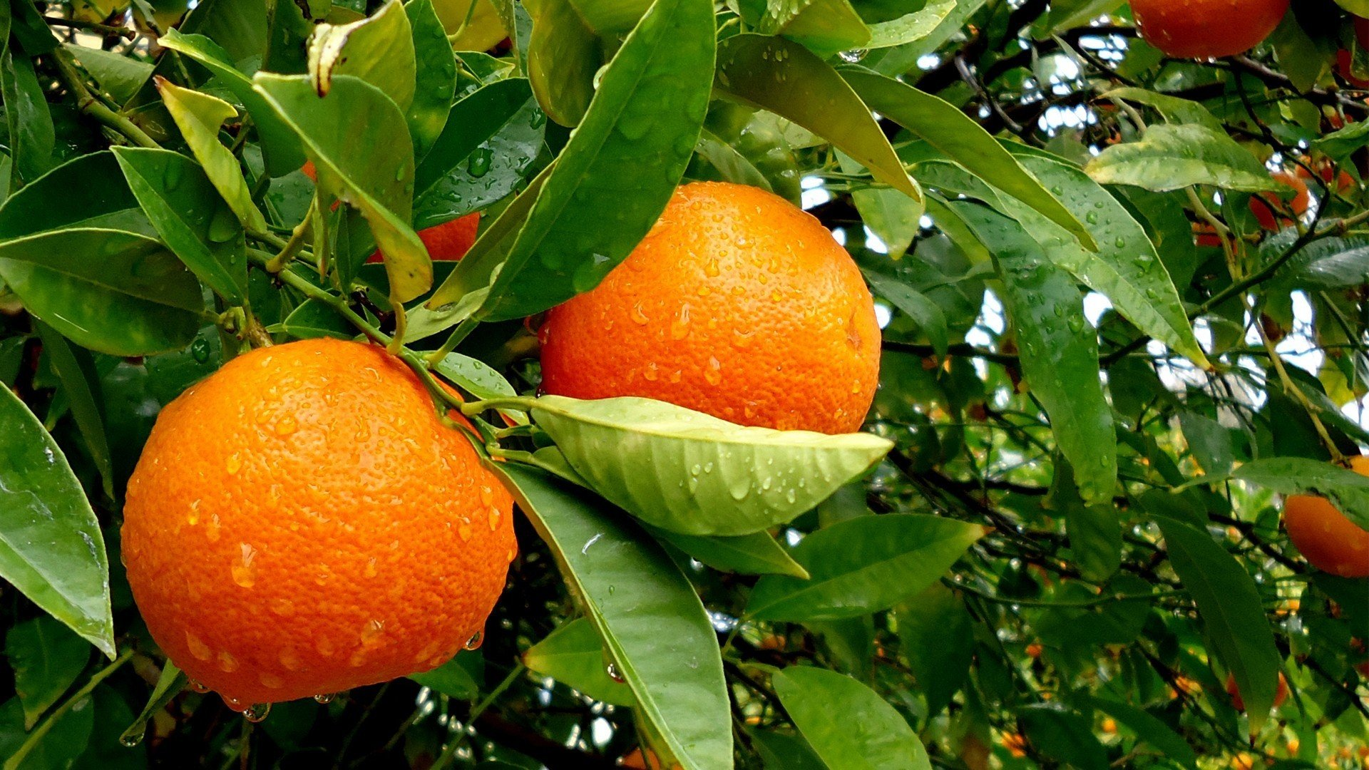 fruits leaves oranges water drops fruit trees wallpaper background
