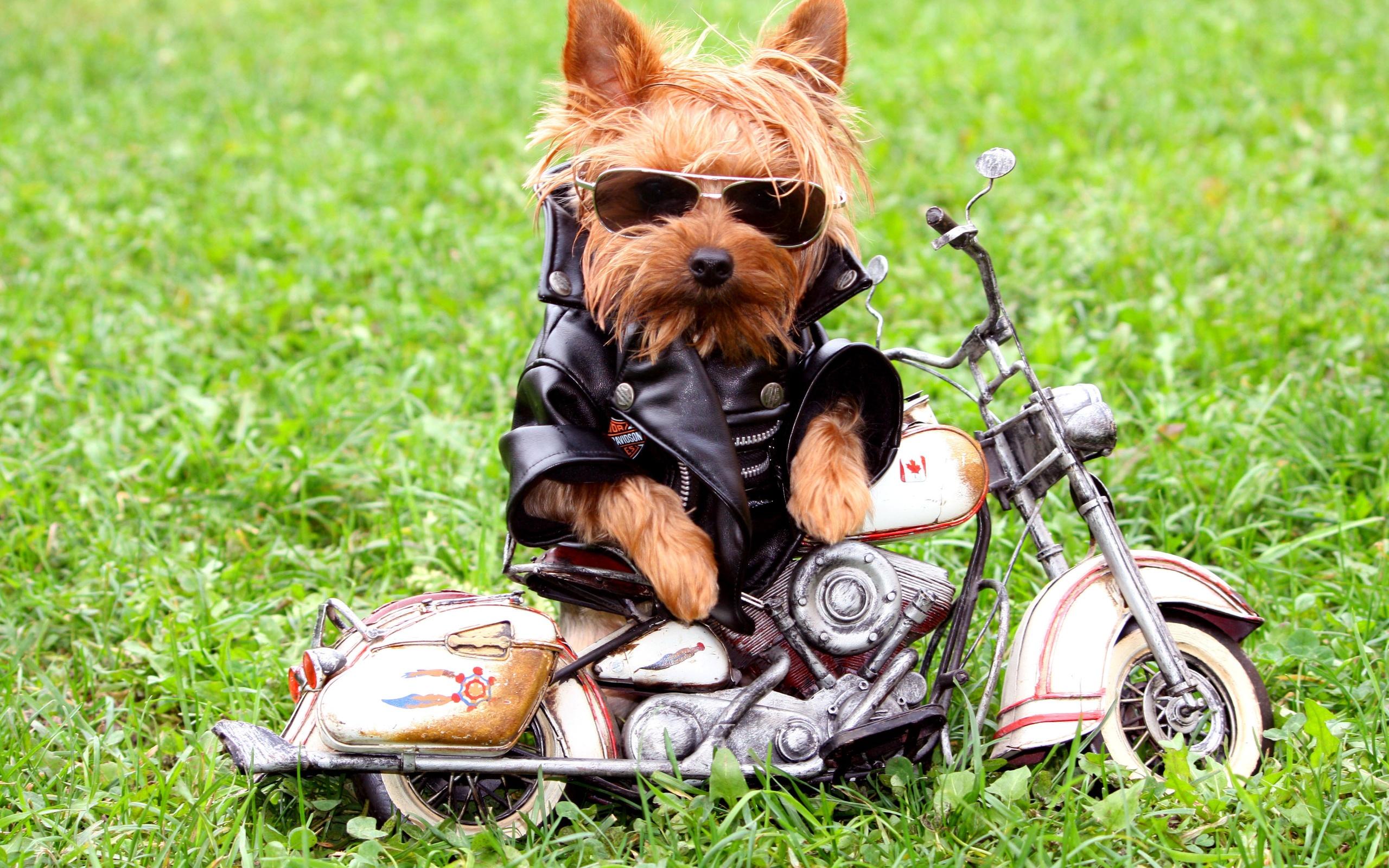 Funny biker dog