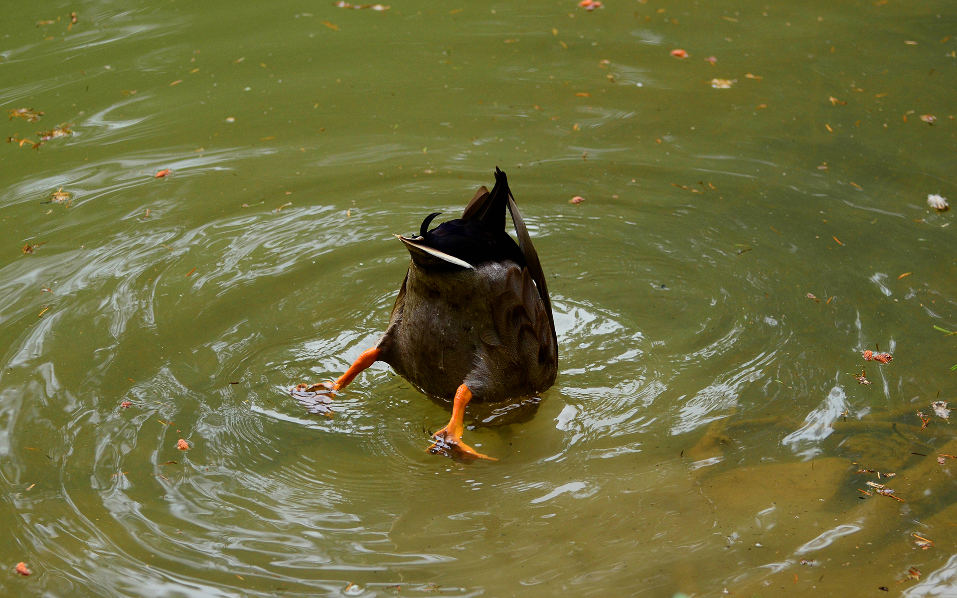 Funny duck tail