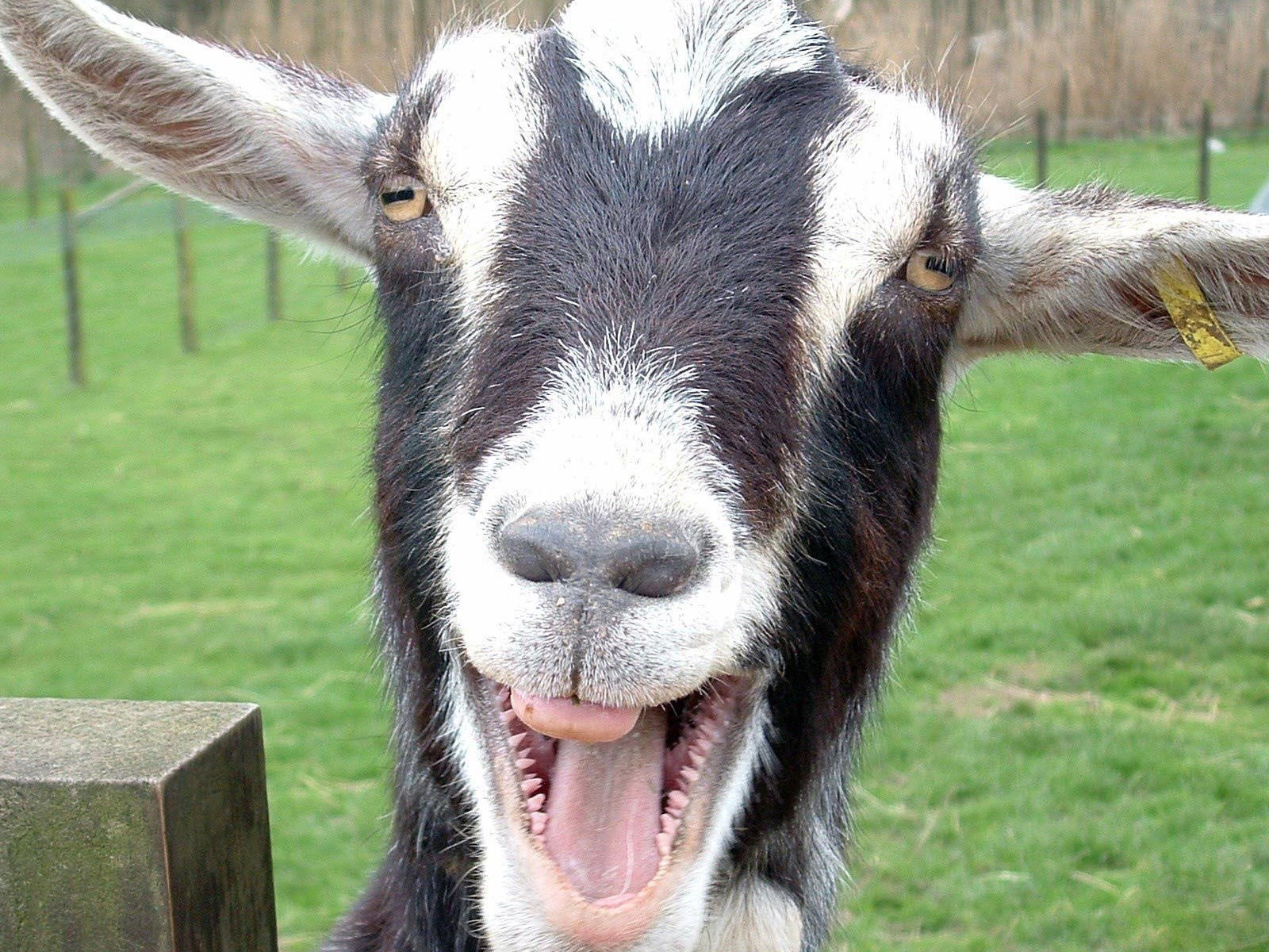 Desktop backgrounds · Backgrounds · Humor | Funny Merry goat joker