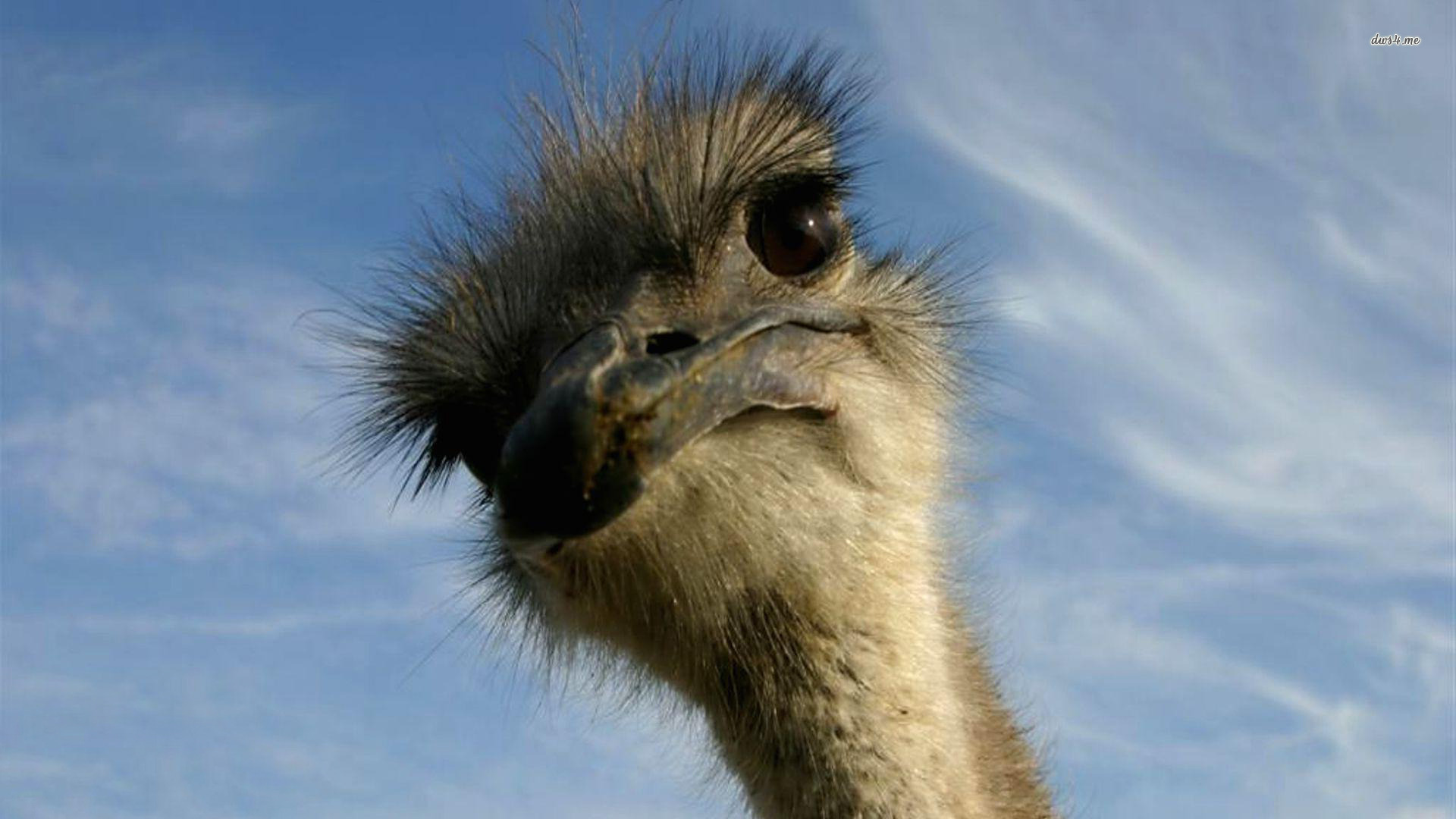 Ostrich HD wallpapers