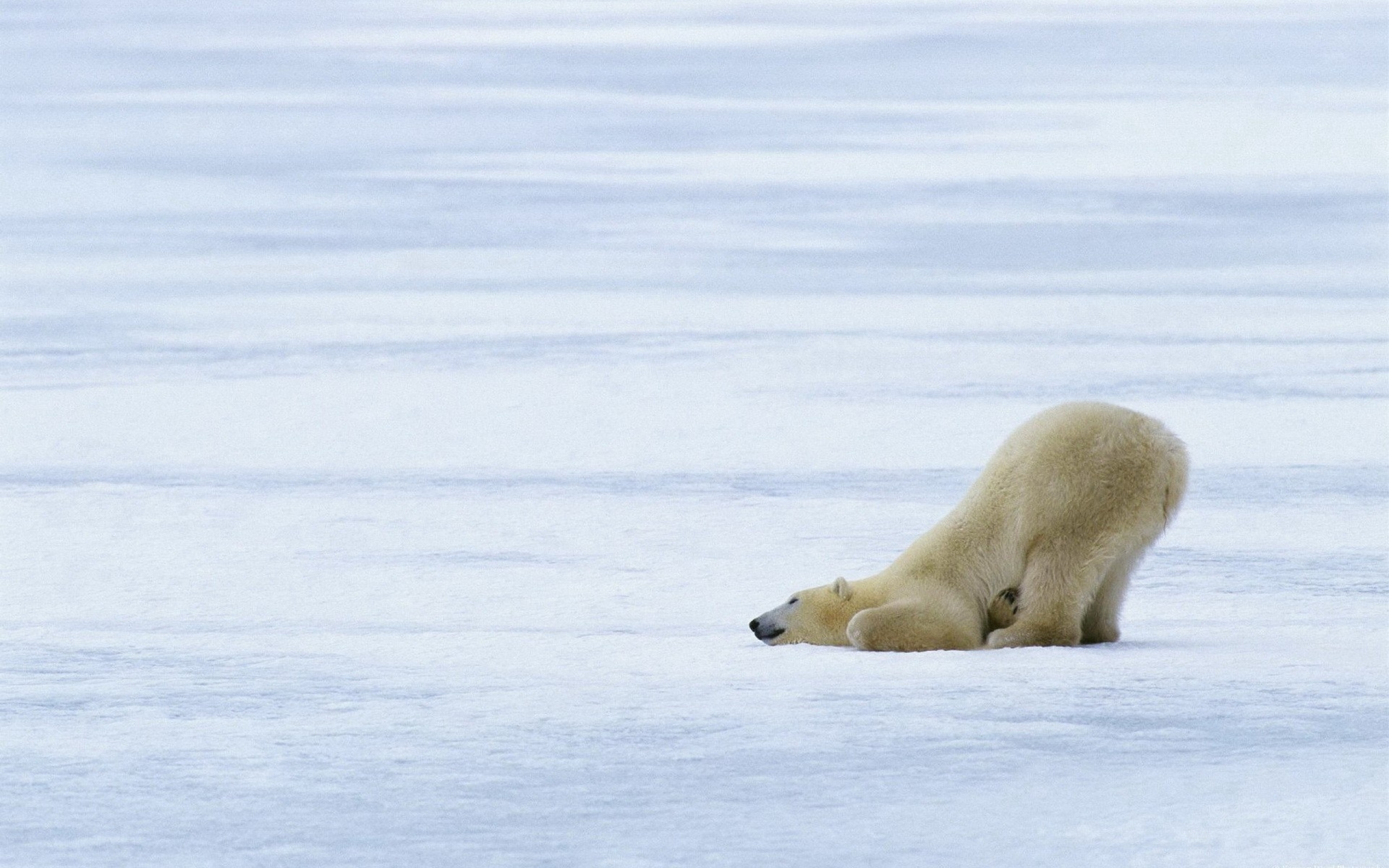 Funny Polar Bear Wallpapers Pictures Photos Images. «