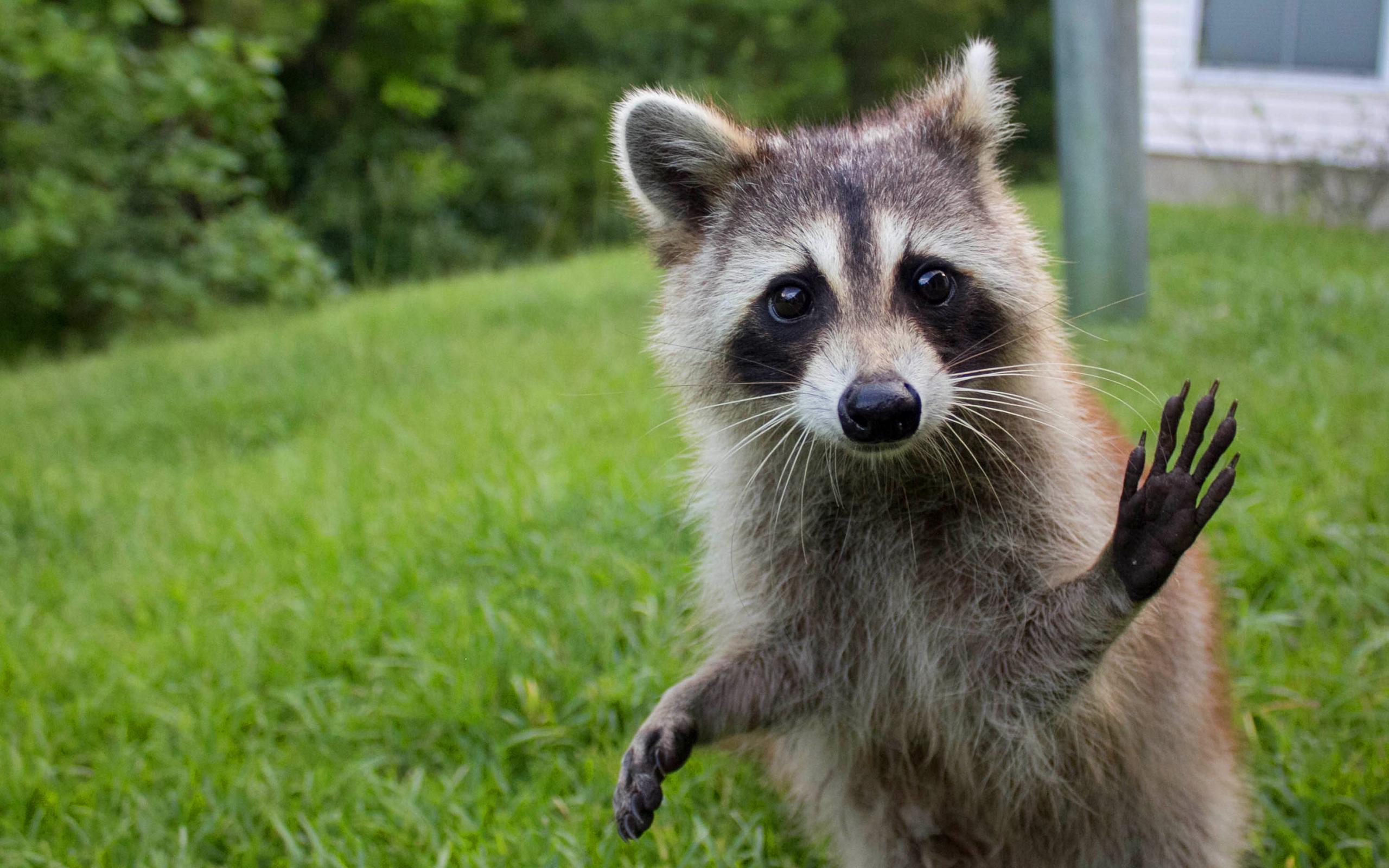 Raccoon funny