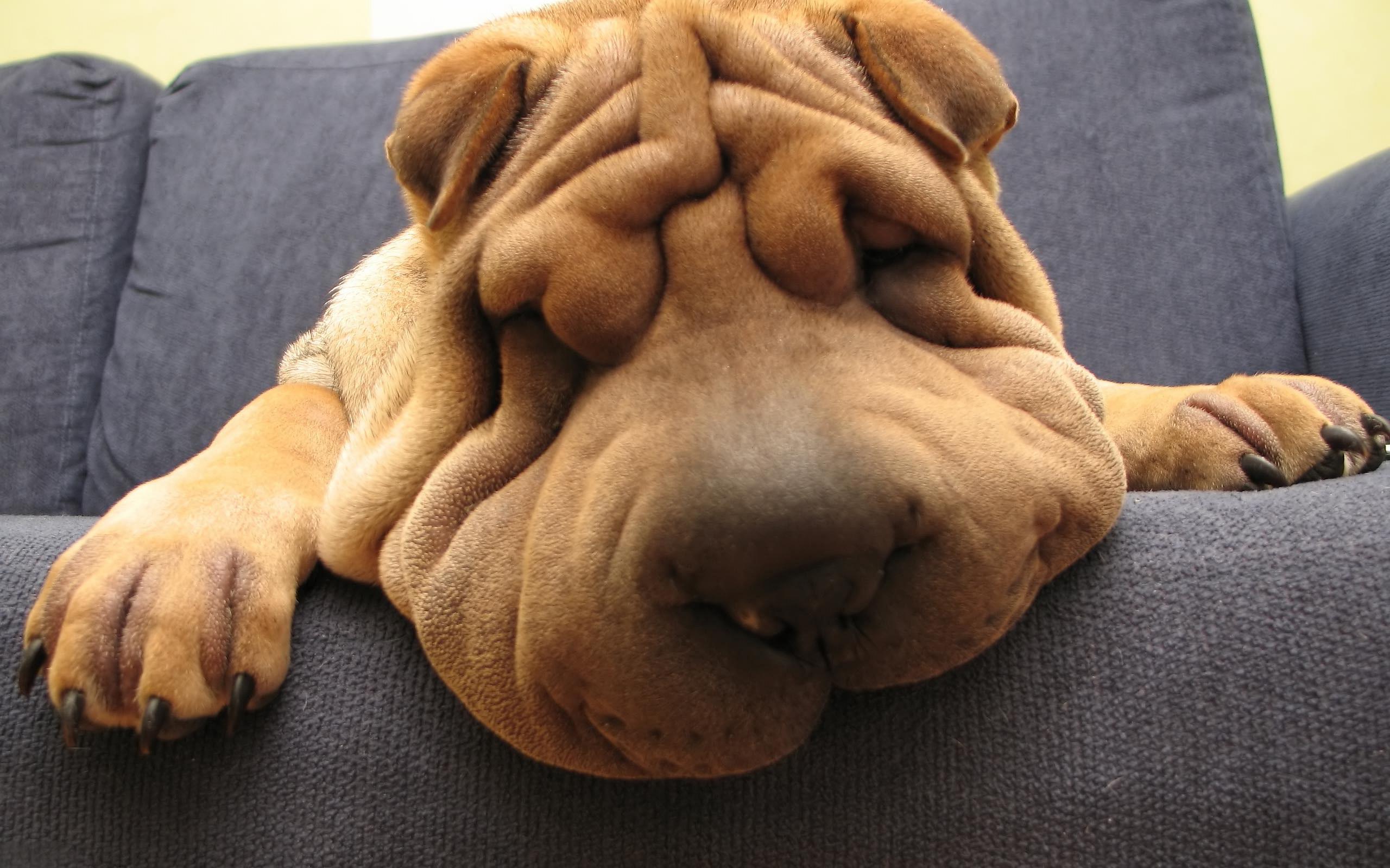 Funny Shar Pei Dog