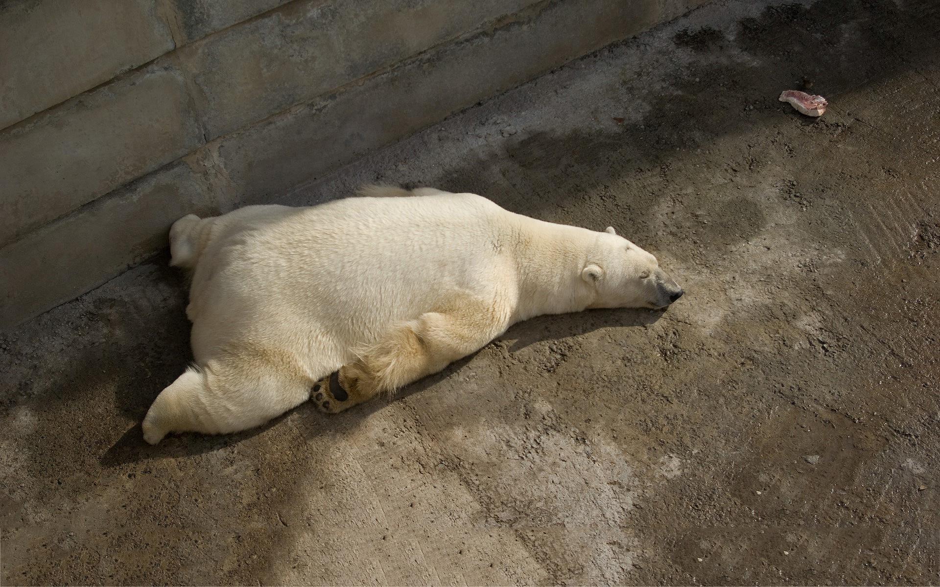 Funny sleeping bear