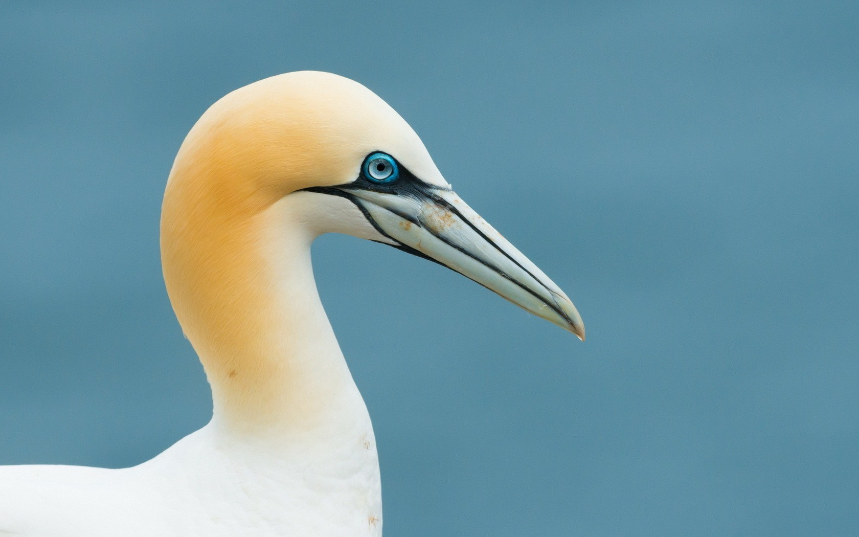 Gannet Seabirds Awesome