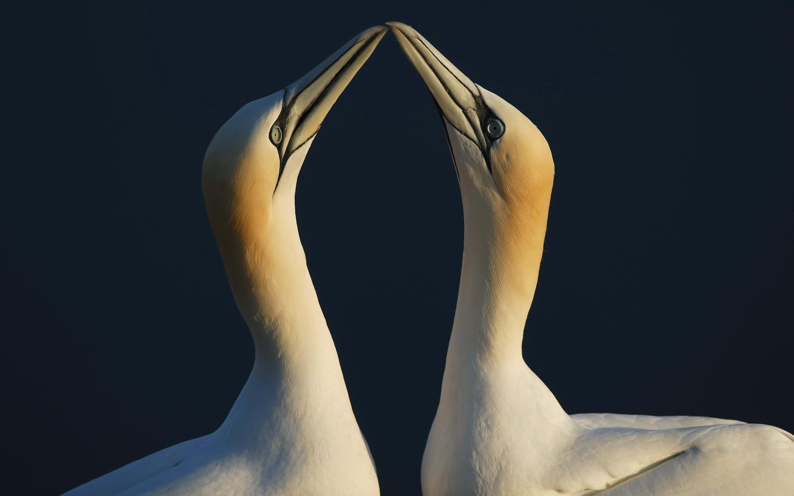Gannets Seabirds Pair