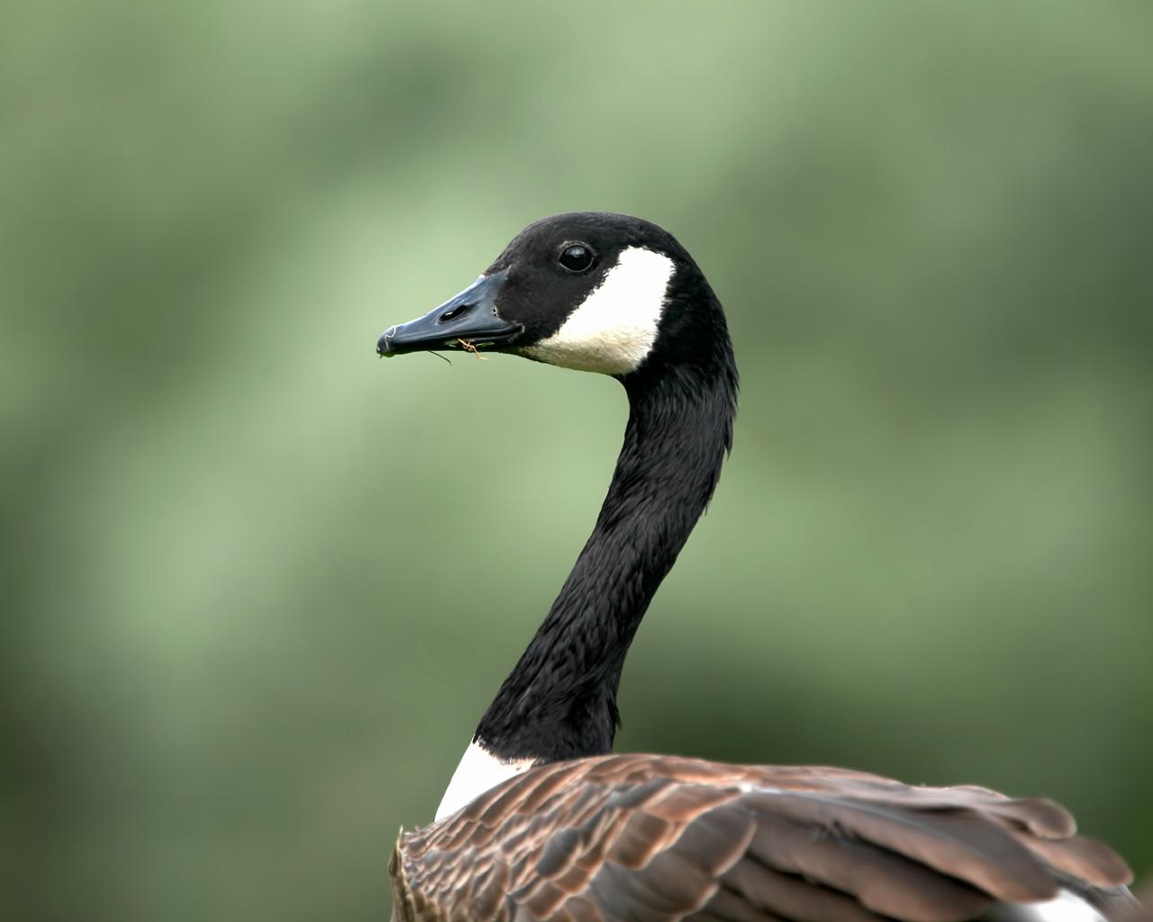 Geese Birds
