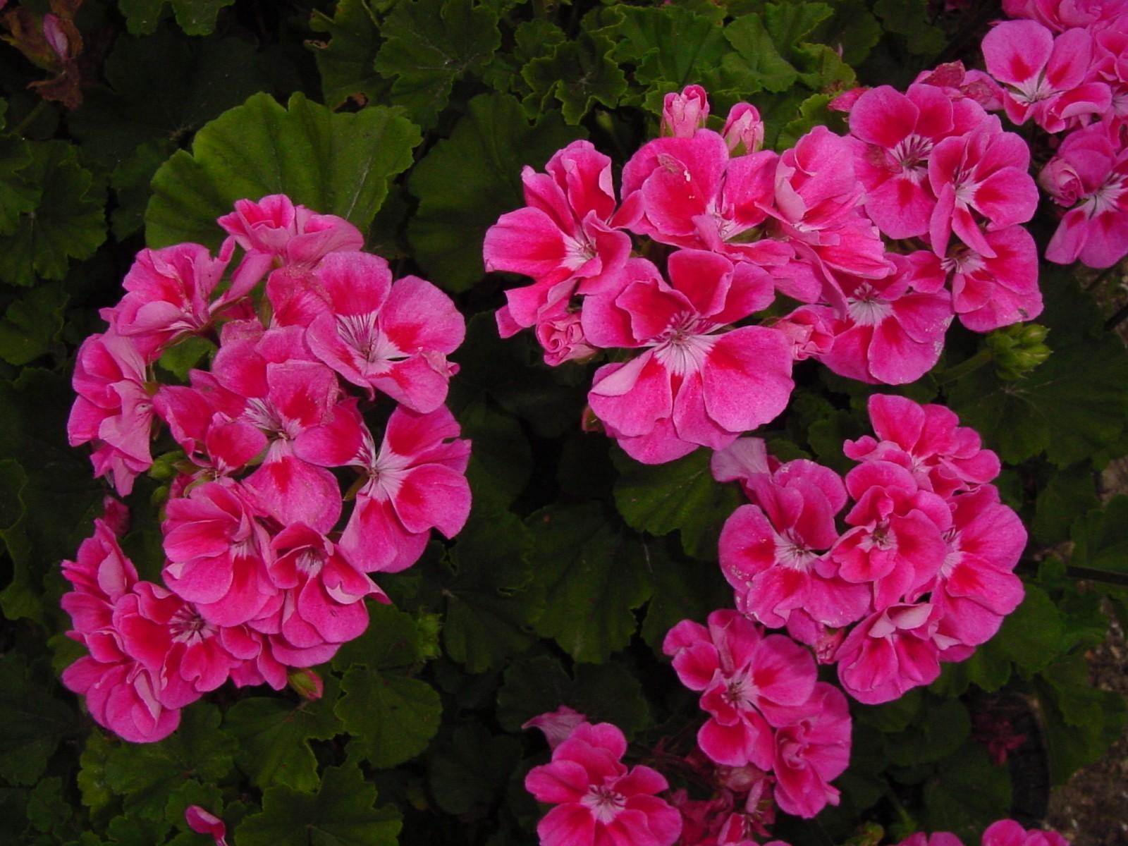 Fantasia Strawberry Sizzle Geranium