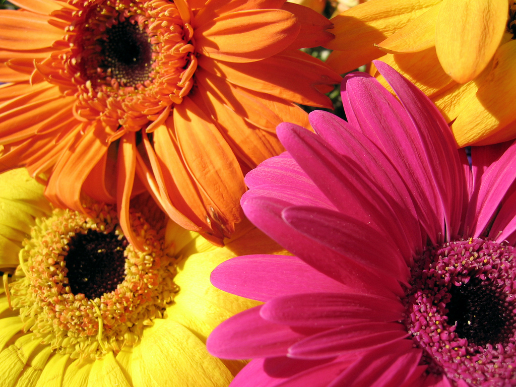 gerbera daisies | by jspad gerbera daisies | by jspad