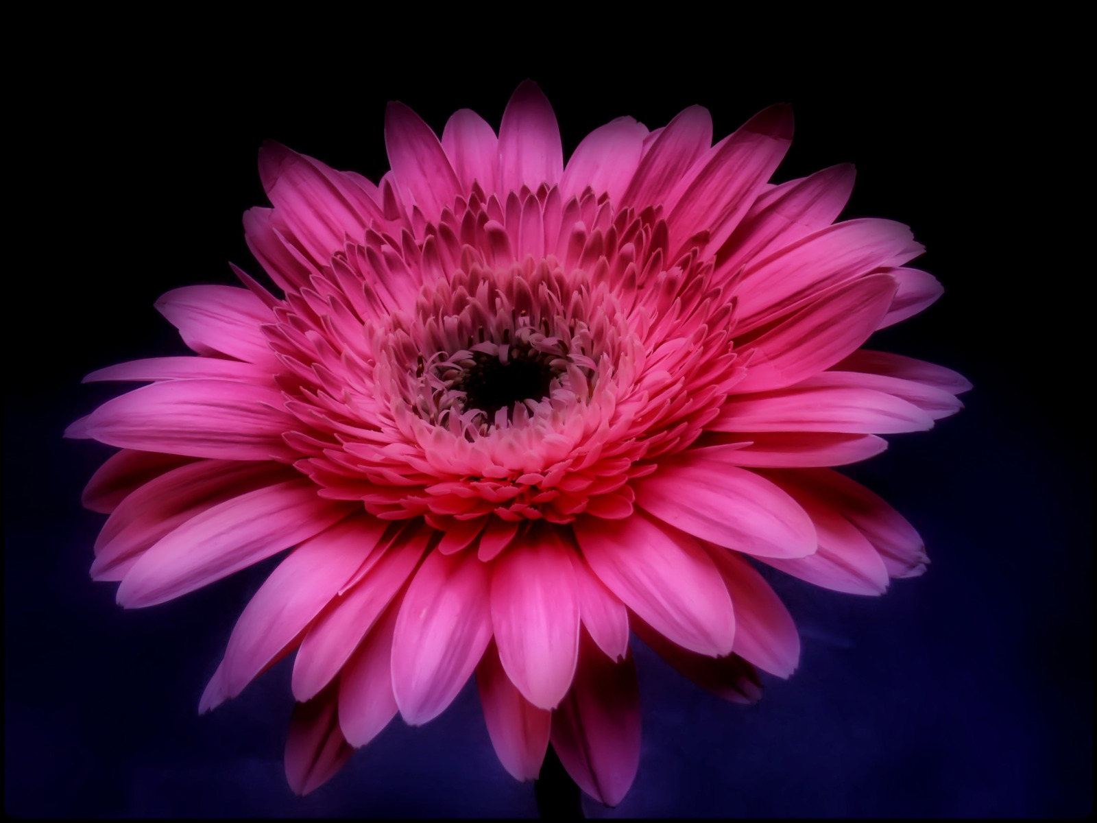 Pink Gerbera Daisy in The Darkness Widescreen Wallpaper Wide