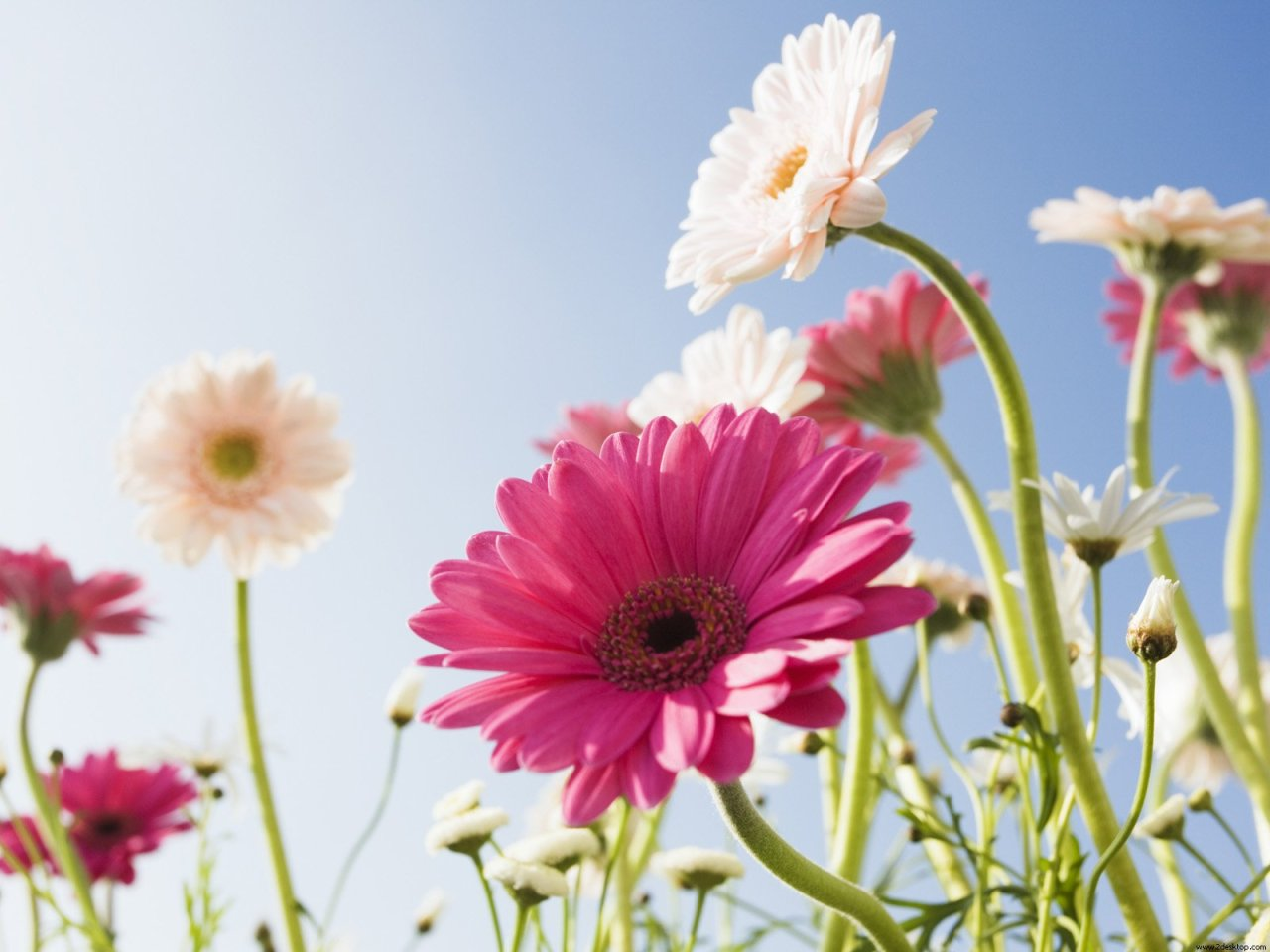 Download Gerberas in the Field Wallpaper :