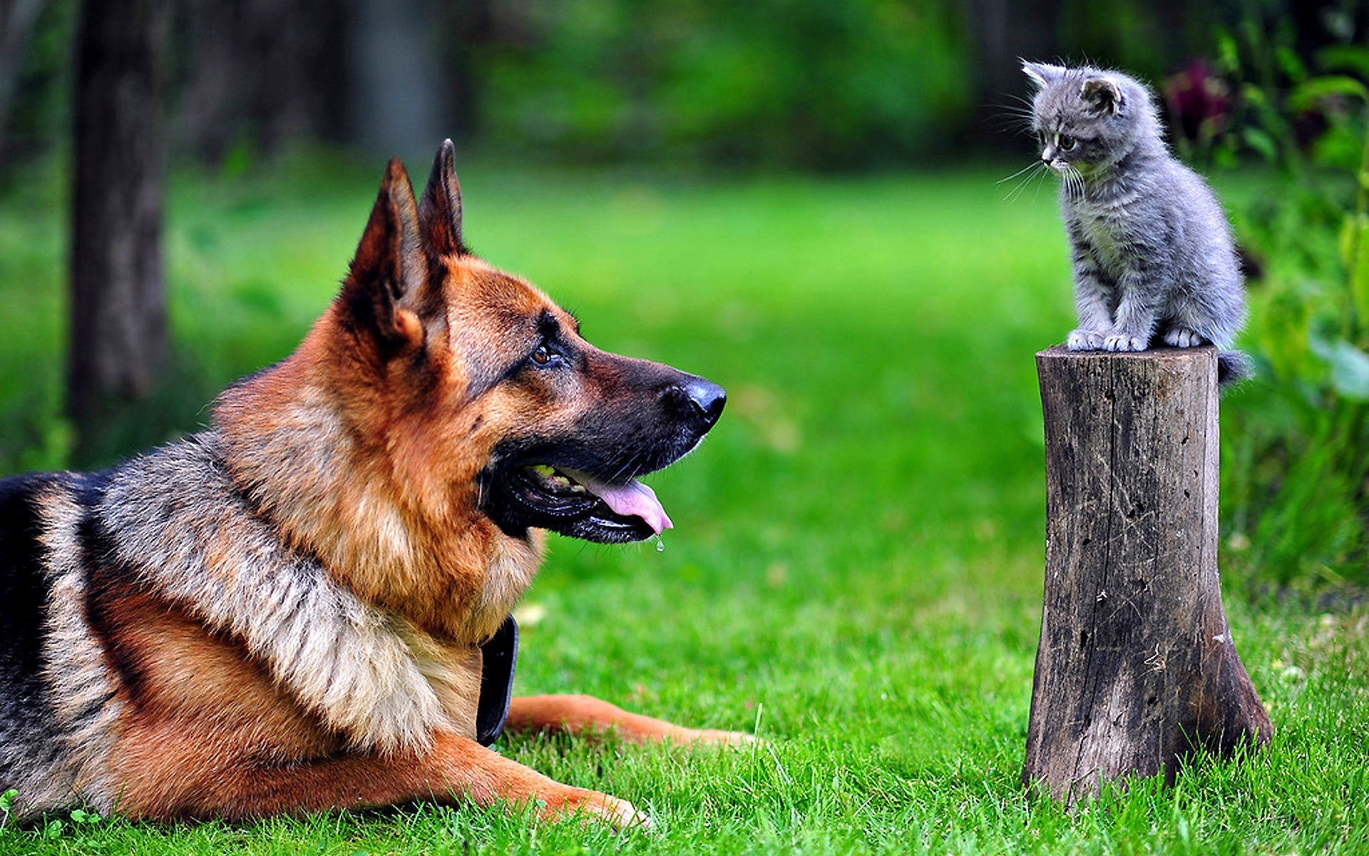 German Shepherd, dog, photo, kitty, cute