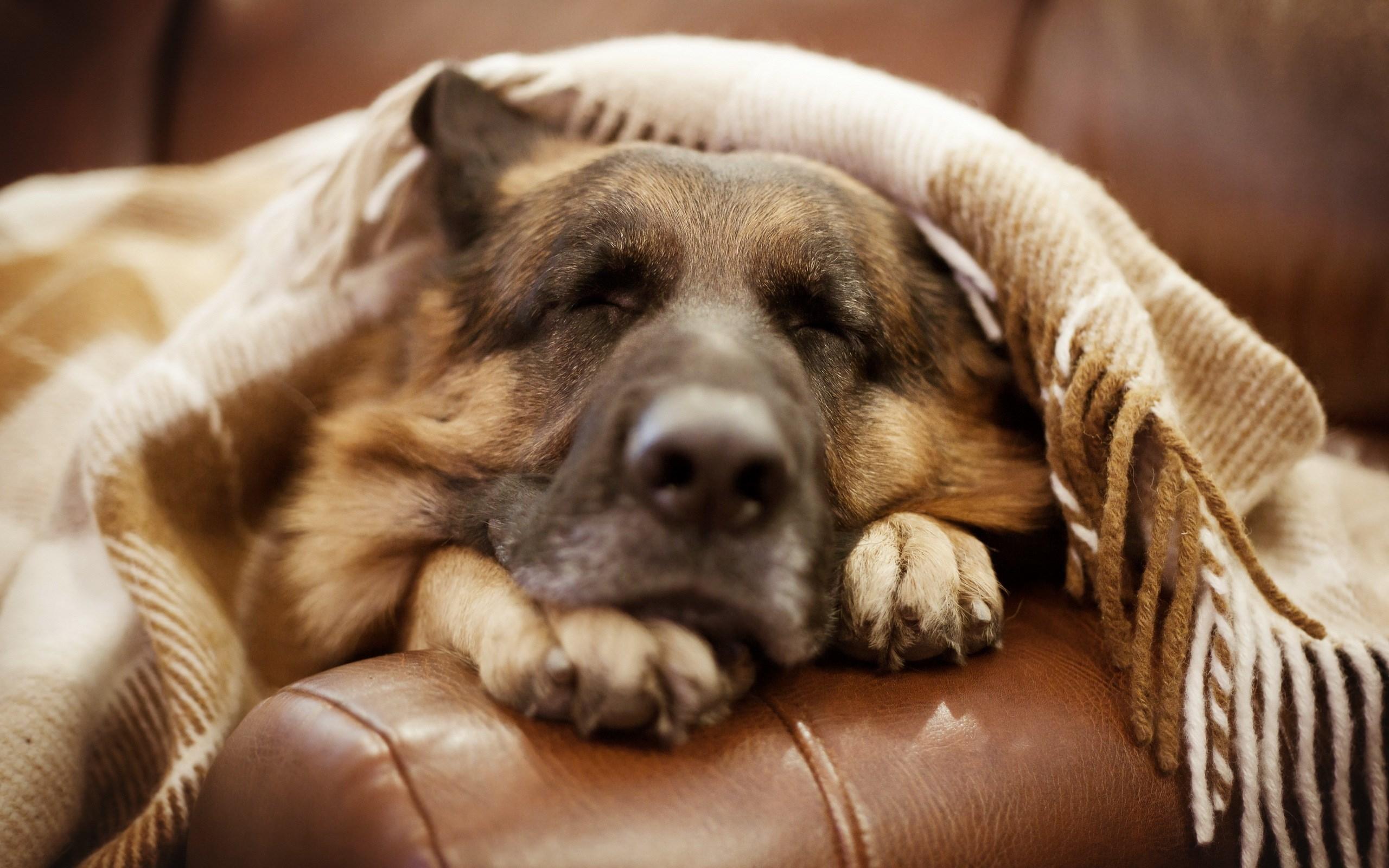 German Shepherd Dog Sleep