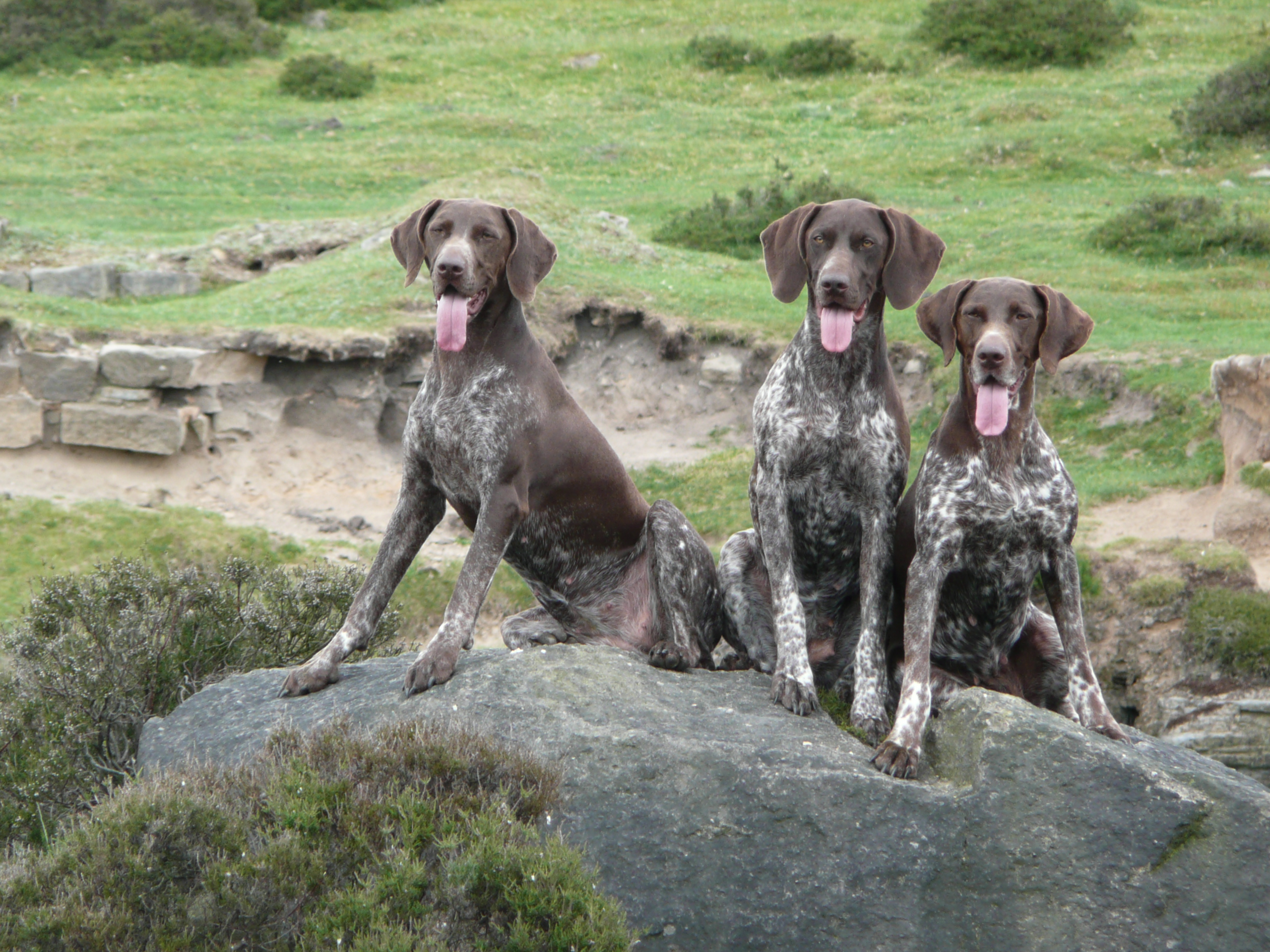 ... top 10 German Shorthaired Pointer Desktop Wallpapers. These wallpapers are high definition and available in wide range of sizes and resolutions.
