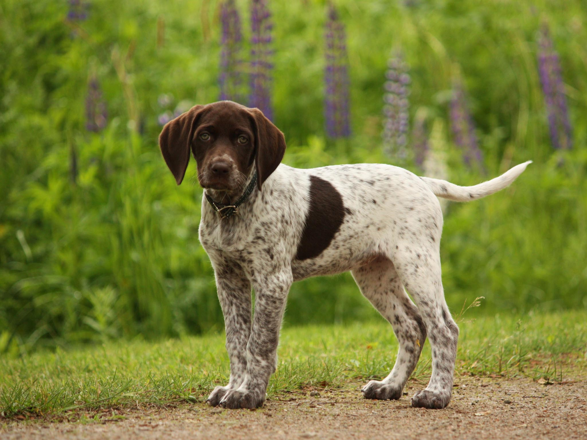 German Shorthaired Pointer Puppies 32183 1600x1200 px