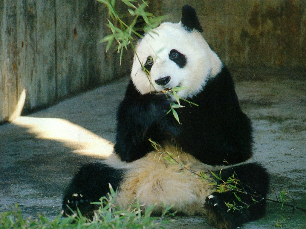 Cute Giant Panda 14 Wallpaper HD