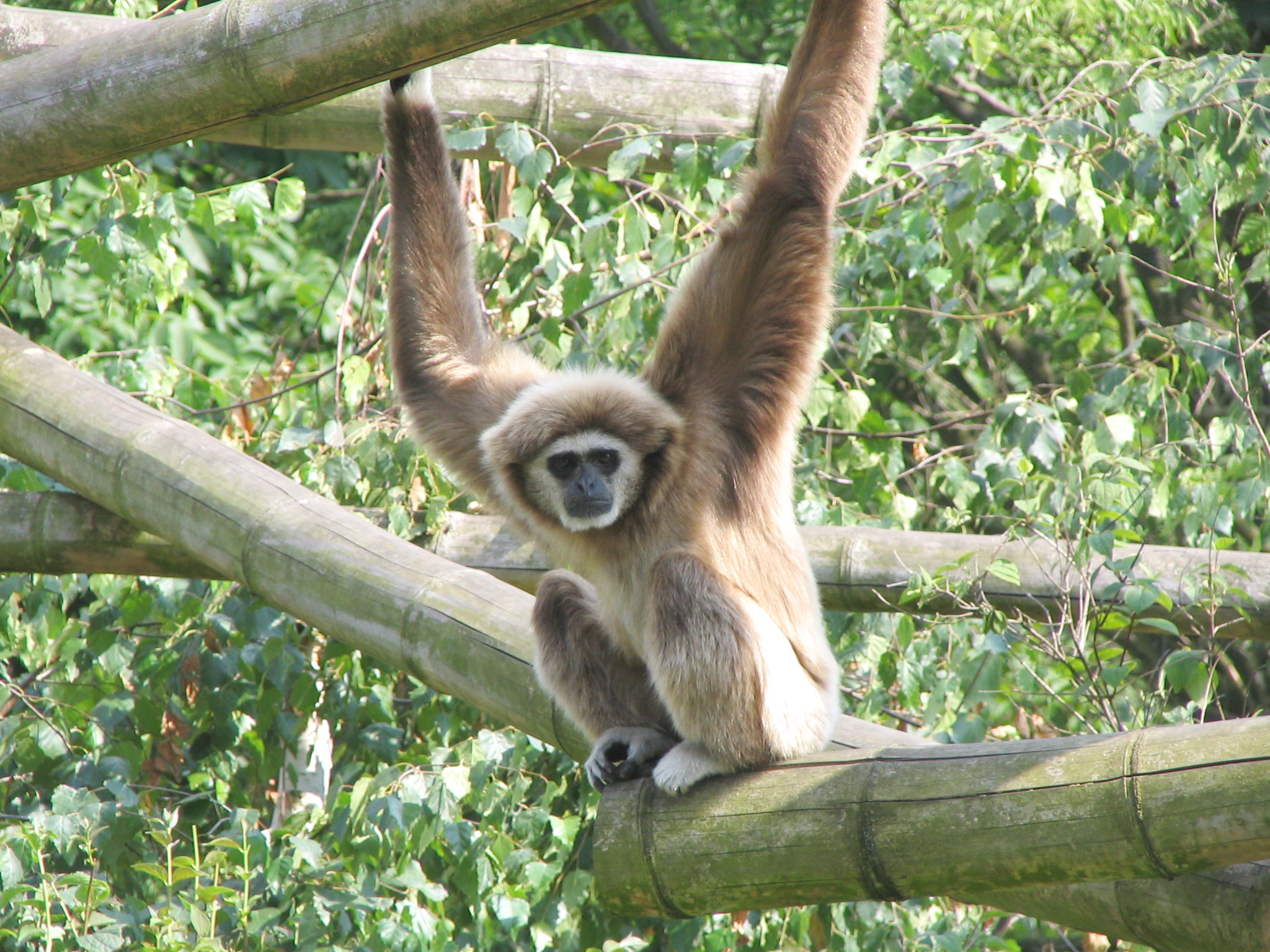 Gibbon Psychology Wiki