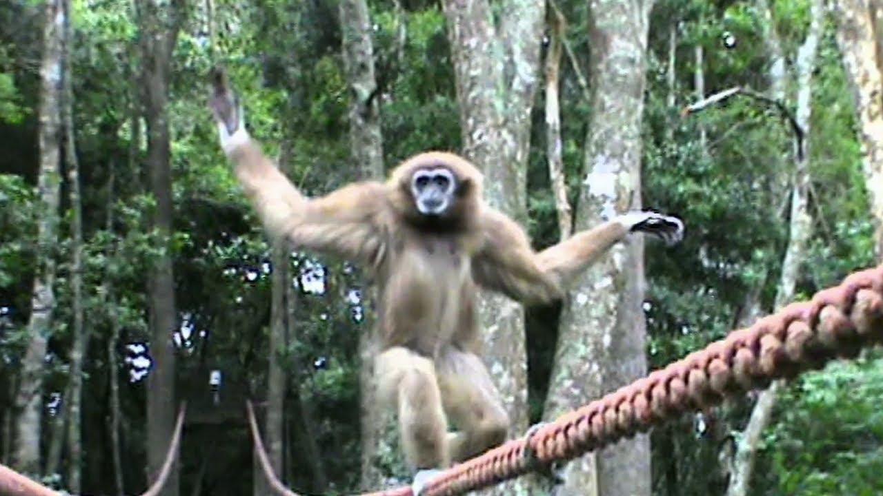 Cute Gibbon Tightrope Walks Across Bridge