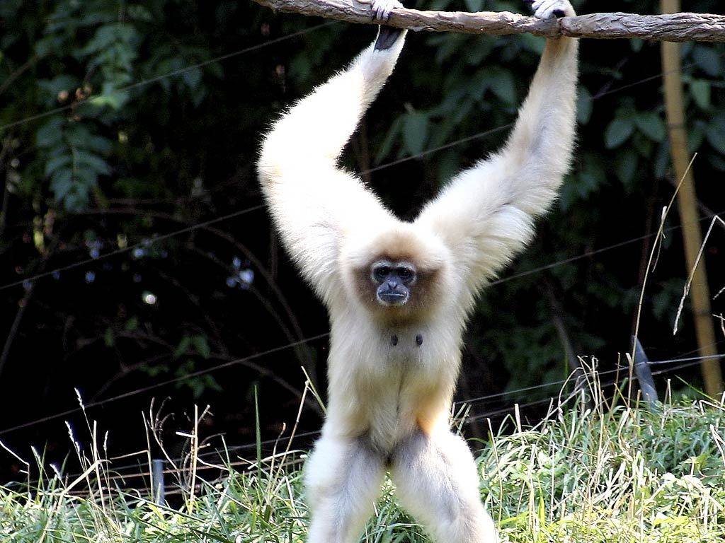 free Gibbon wallpaper wallpapers download