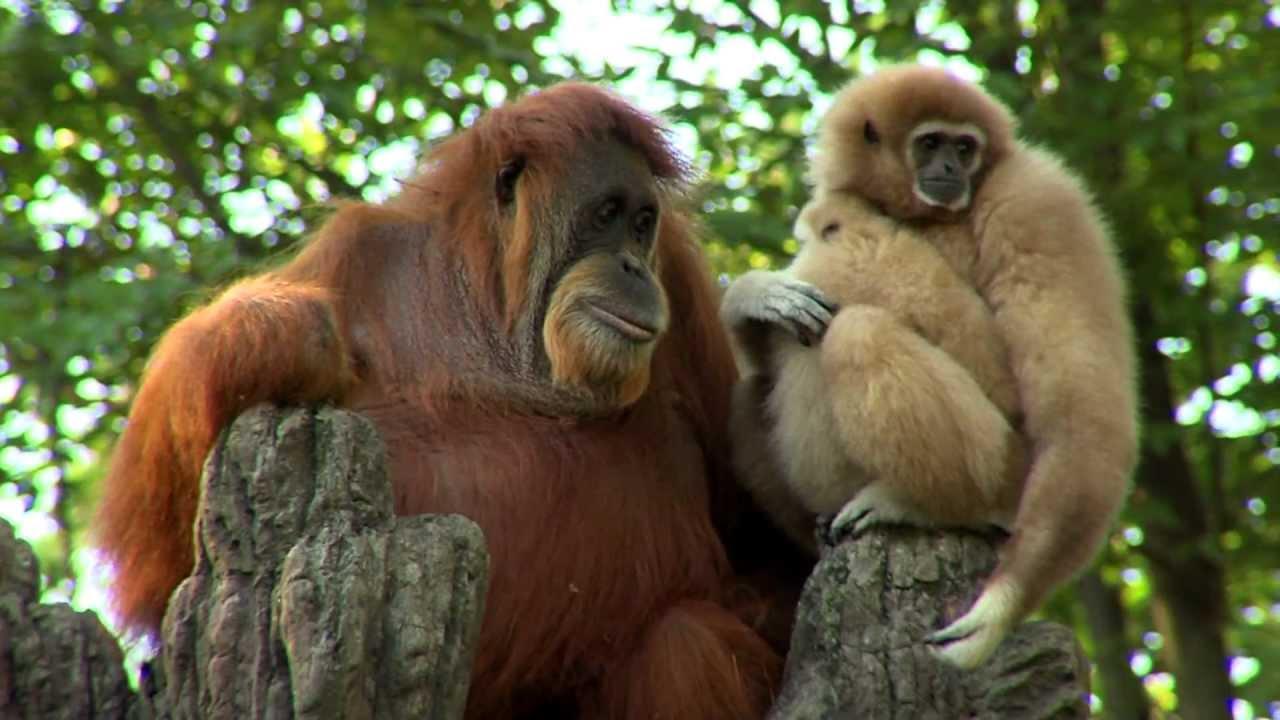 Orangutan Loves Gibbon Baby - Cincinnati Zoo
